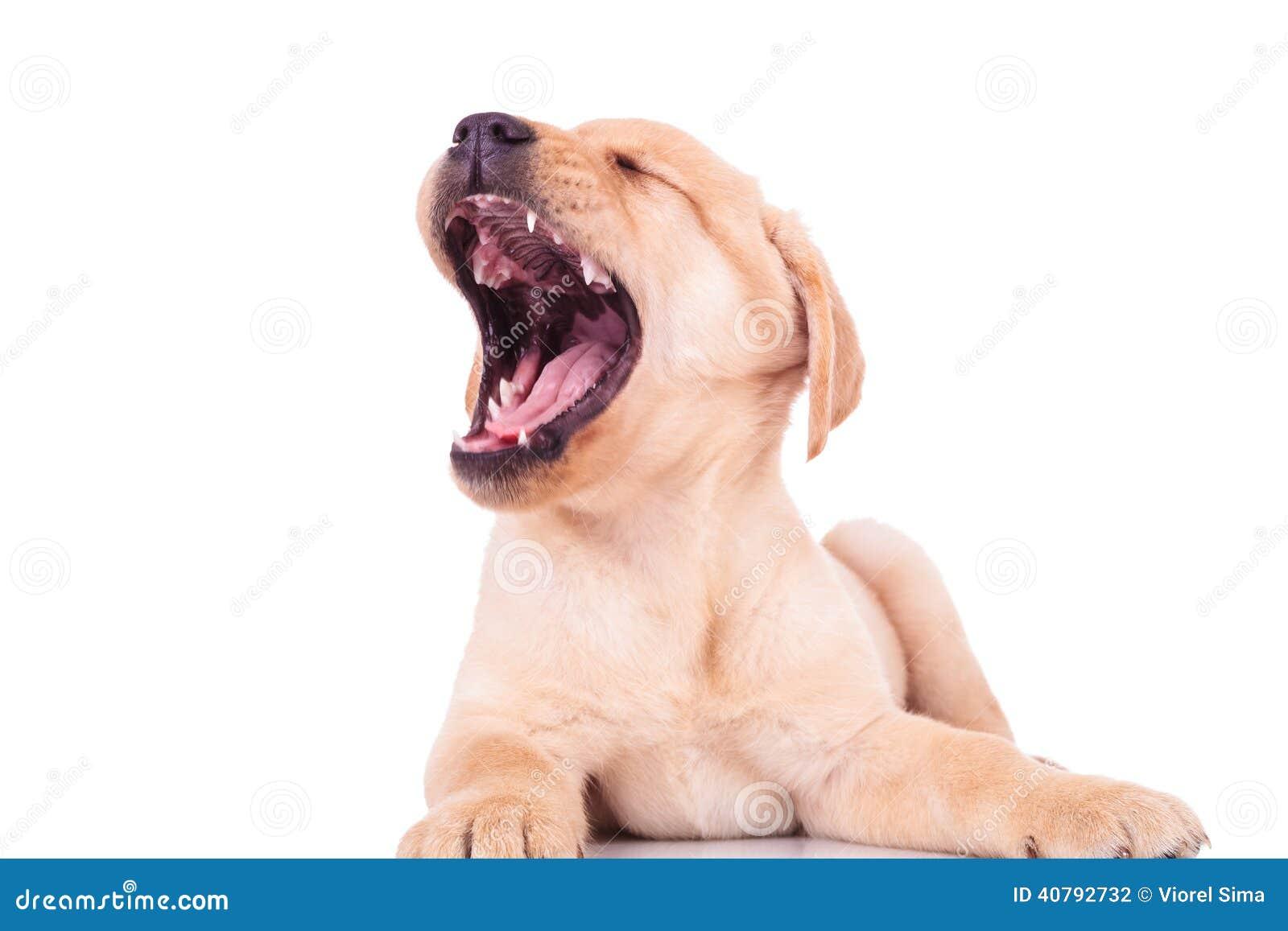 Excited labrador retriever puppy dog screaming of joy