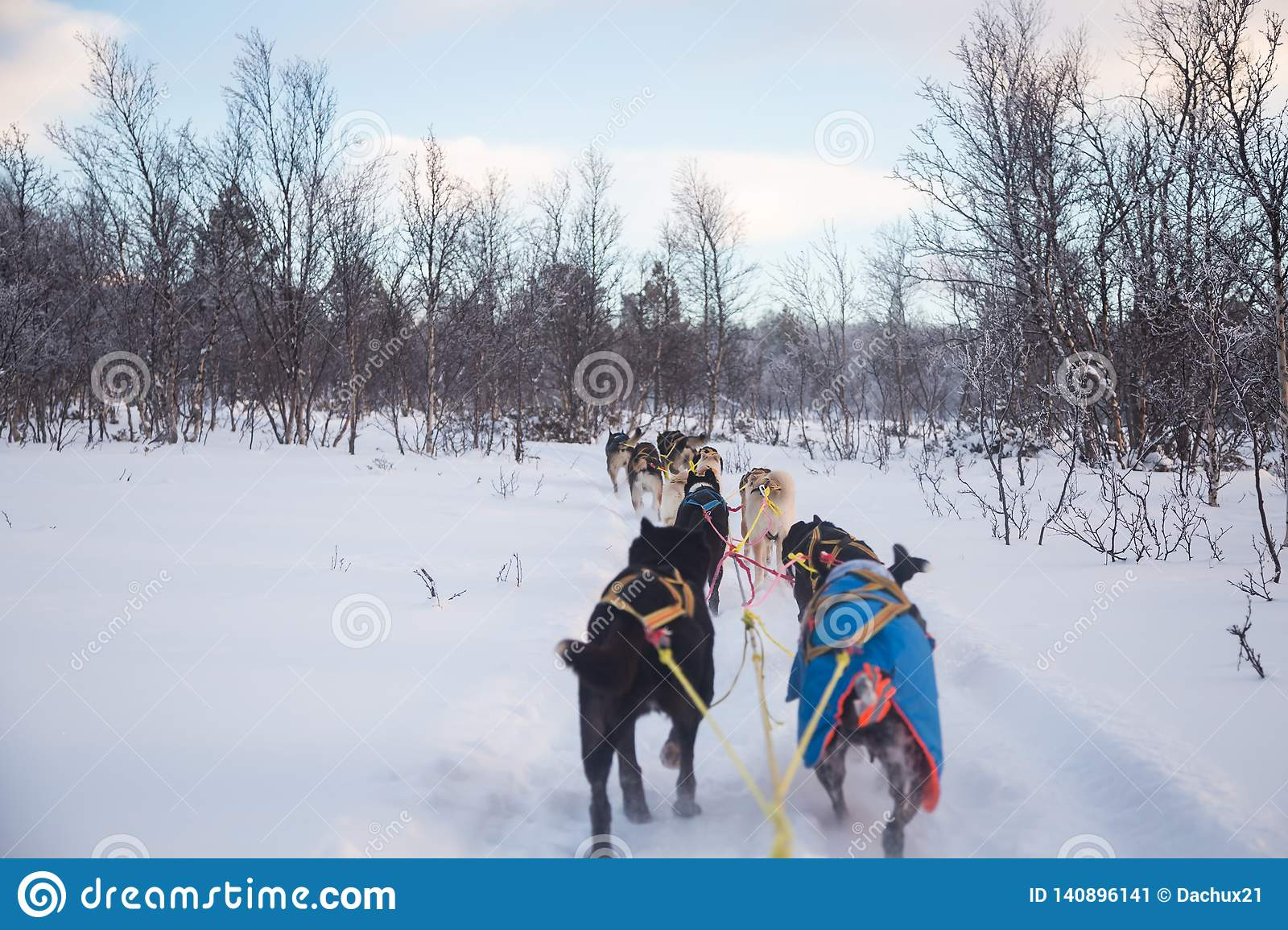 An exciting experience riding a dog sled in the winter landscape. Snowy forest and mountains with a dog team.