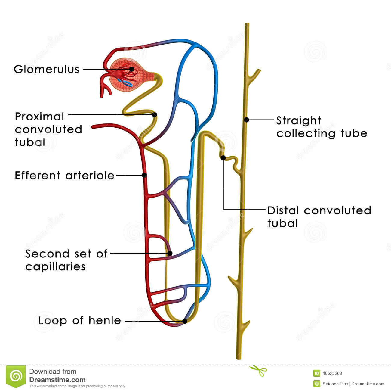 The excretory system is a passive biological system that removes ...