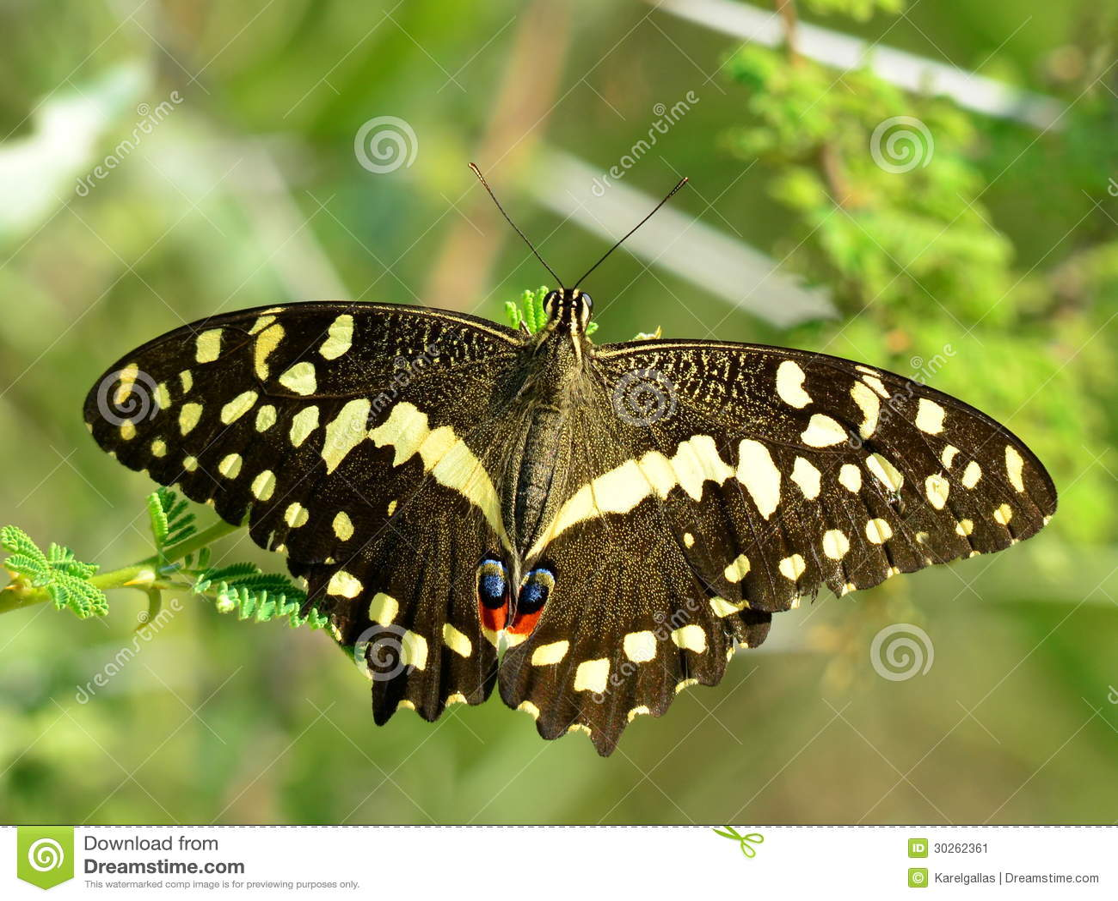 Swallowtail do citrino