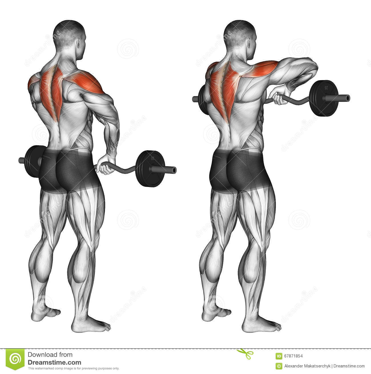 Exercising. EZ Barbell Upright Rows Stock Illustration ...