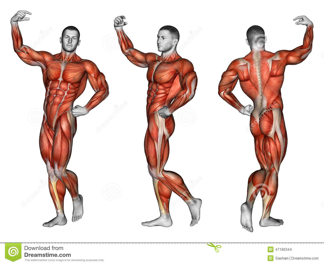 Human Body Muscles Silhouette Stock Vector Illustration Of Anatomy
