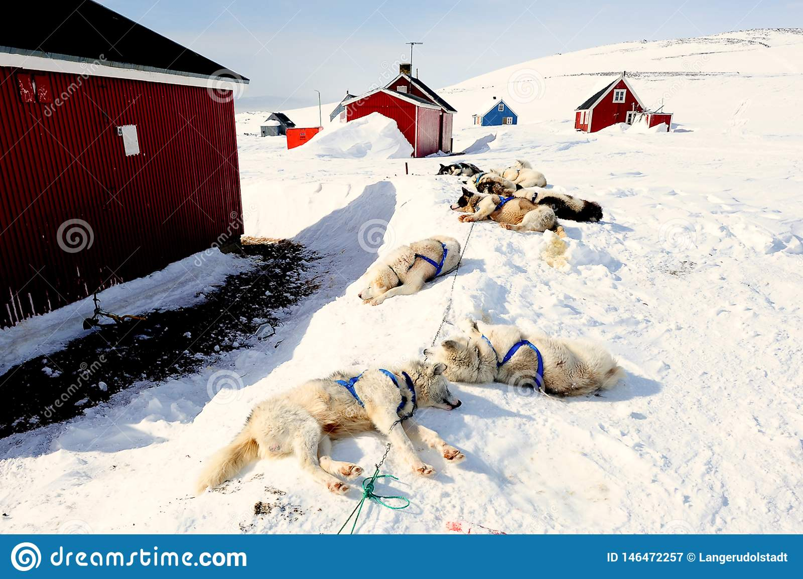 Exhausted sledge dogs in East Greenland after a long sledge dog ride