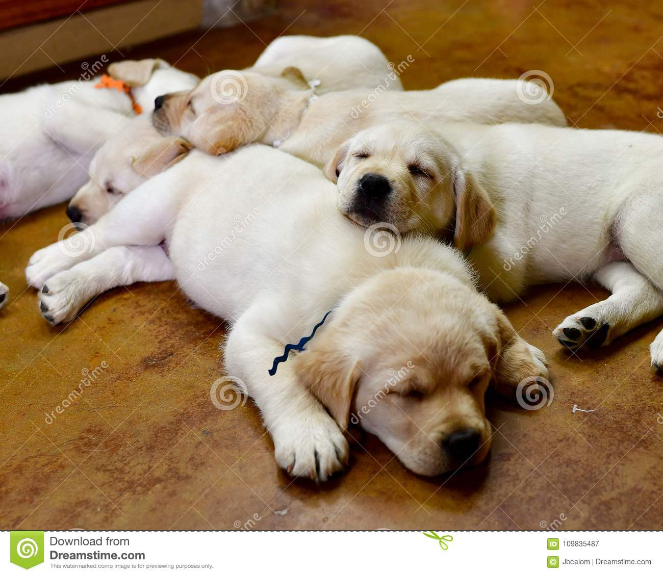 Seven Week Old Yellow Labrador Puppies Cuddling Together For Sleep