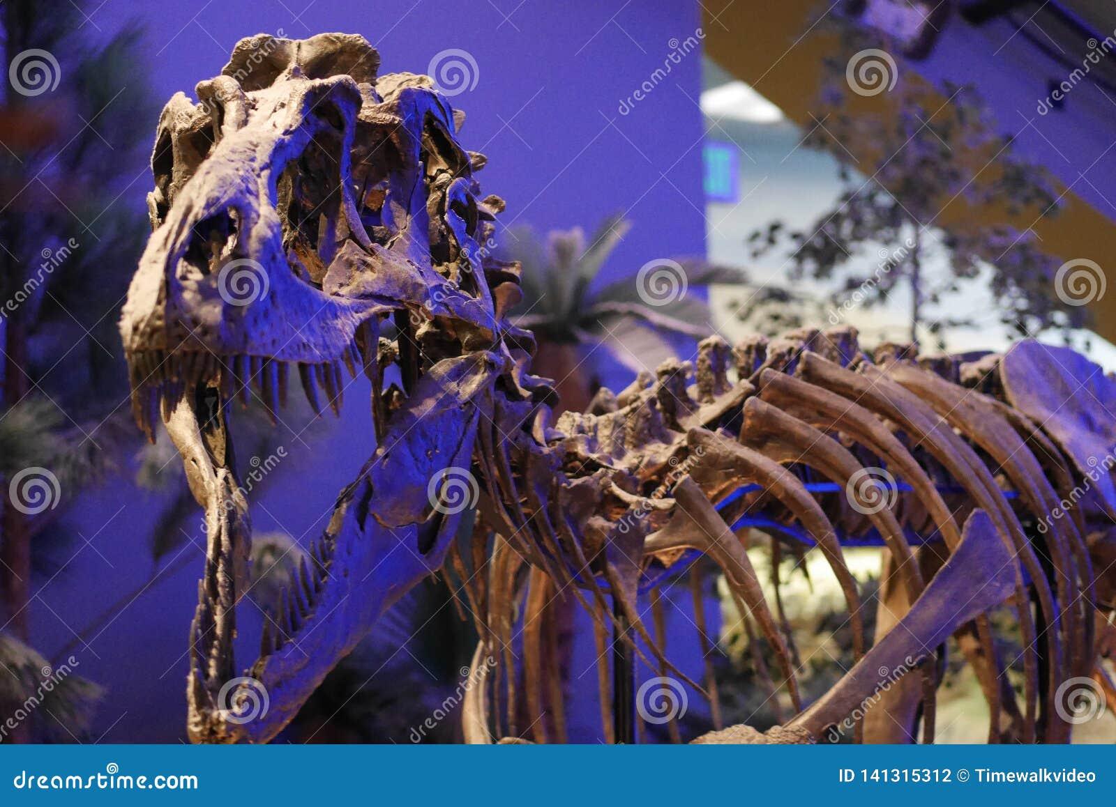 Exhibición del dinosaurio del museo de los niños - tiranosaurio T Huesos de Rex