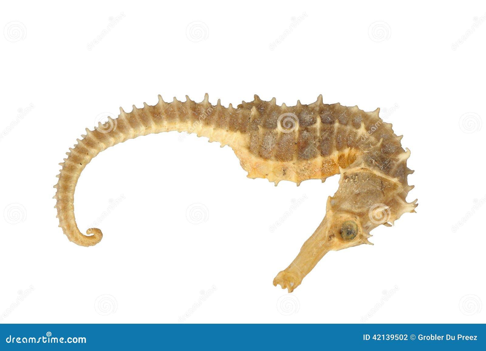 Exoesqueleto del caballo de mar foto de archivo imagen for Immagini cavalluccio marino