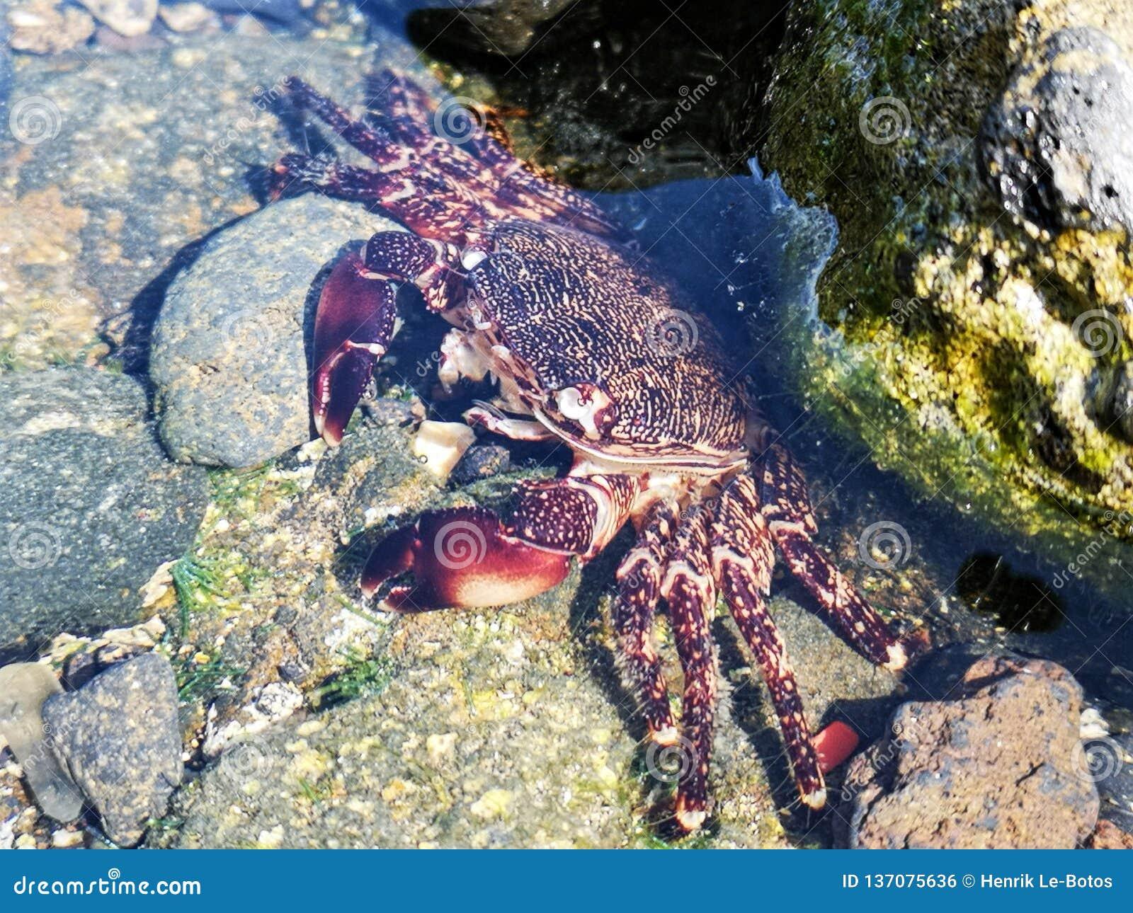 Exoskeleton καβουριών ακτών που ρίχνεται σε μια λίμνη βράχου