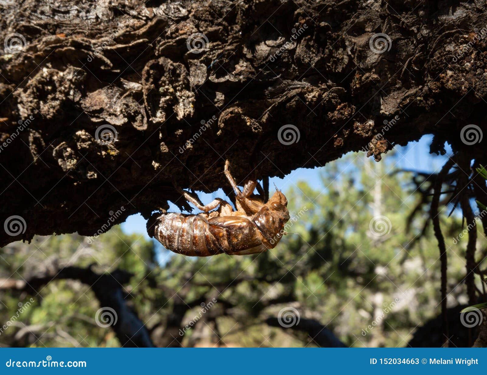 Exoskeleton van een larvale cicade