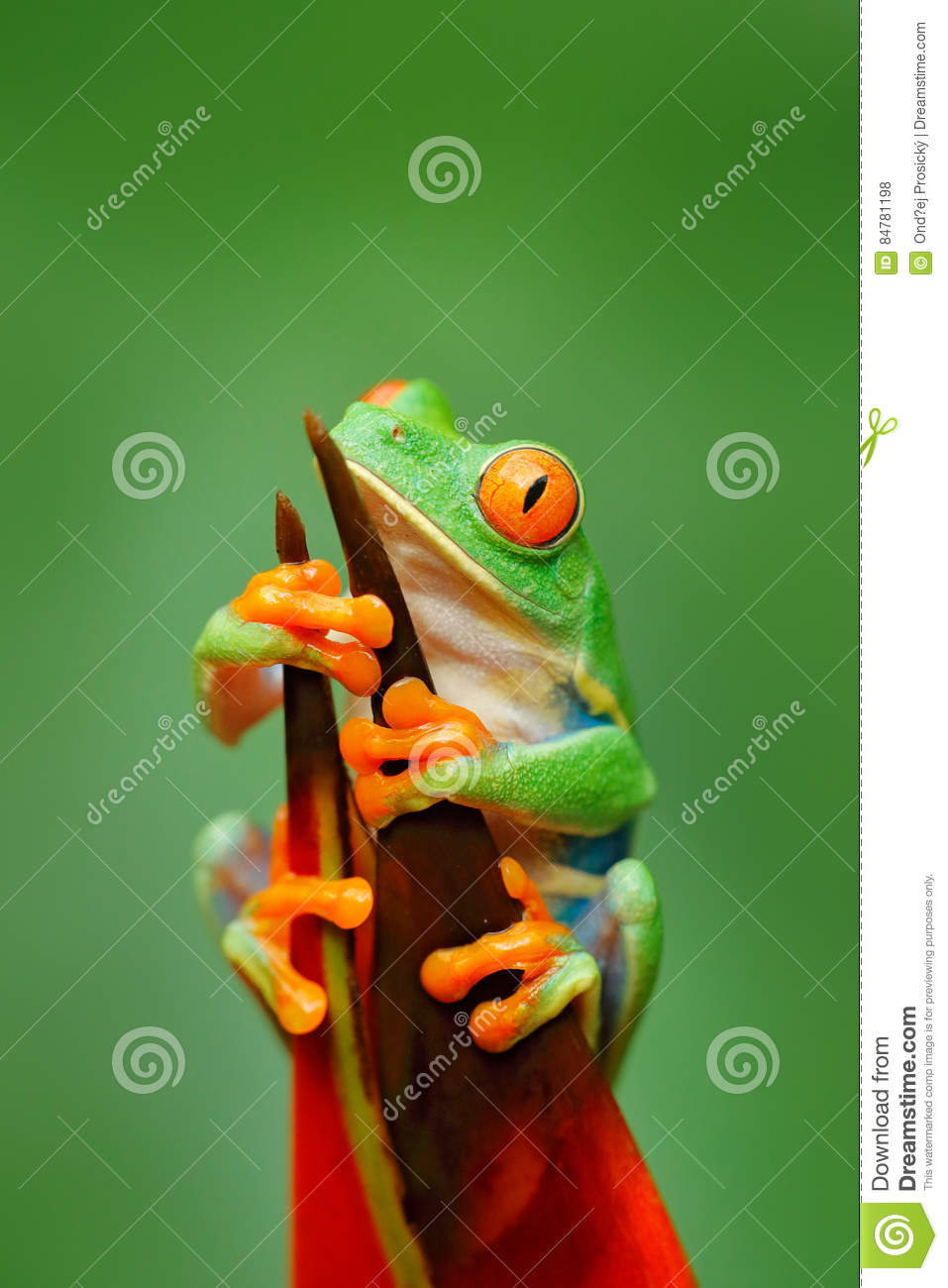Exotic animal from central America, red flower. Red-eyed Tree Frog, Agalychnis callidryas, animal with big red eyes, in the nature