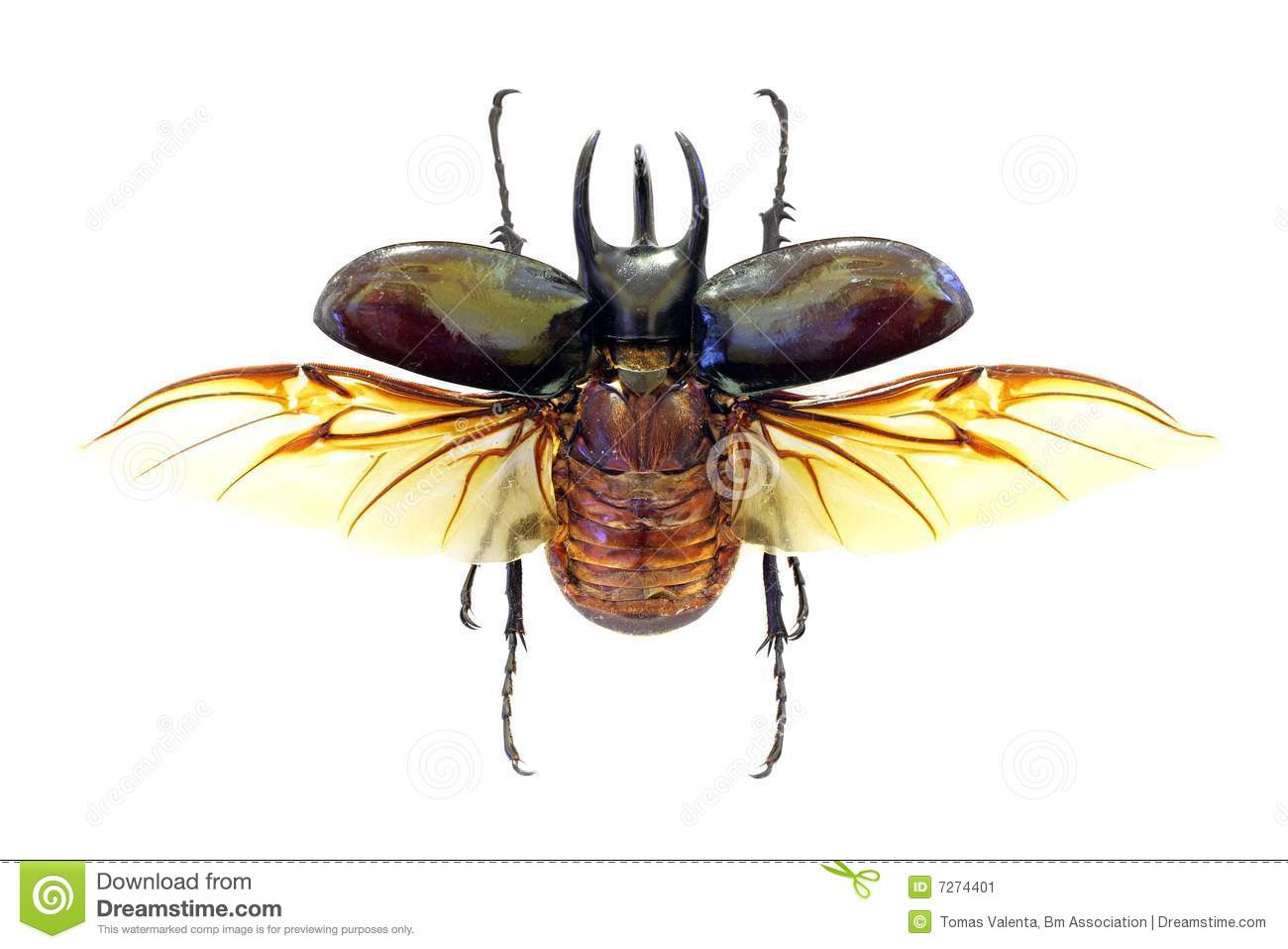 Colorful horned beetle - photo#18