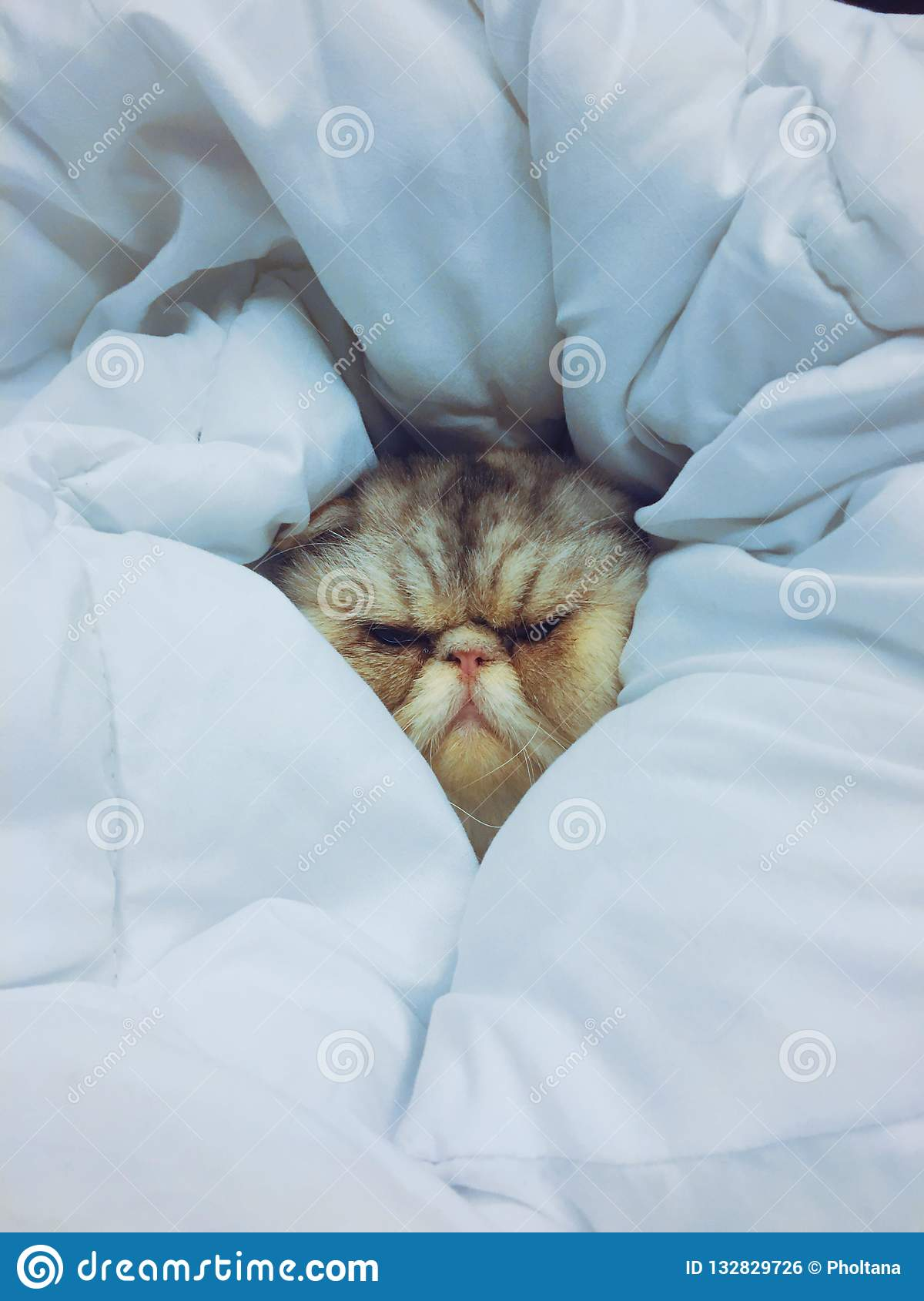 An exotic cat sleeping in a blanket. Its soft and wrapped.