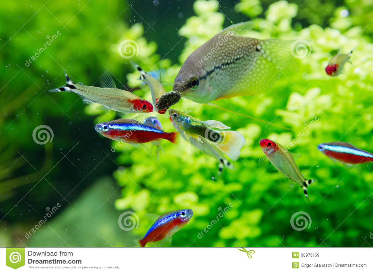 Exotic fish in freshwater aquarium stock image image of for Neon aquarium