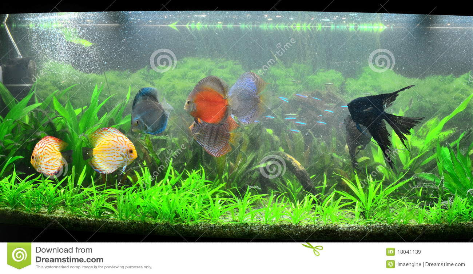 Freshwater aquarium fish exotic - Exotic Fish Tank Amazonian Aquarium Royalty Free Stock Images