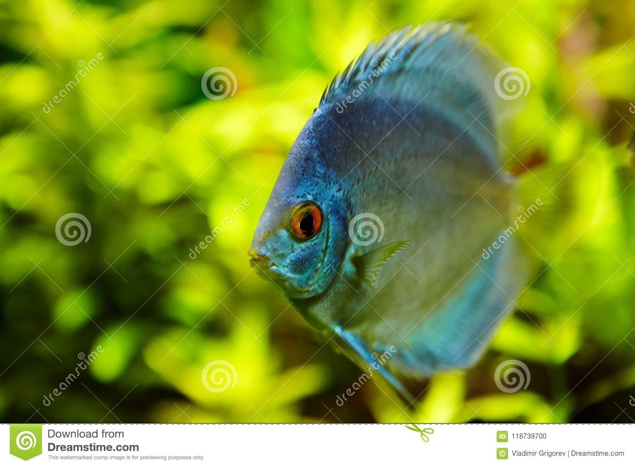 Exotic Freshwater Fish Blue Discus On Green Background. Stock Photo ...