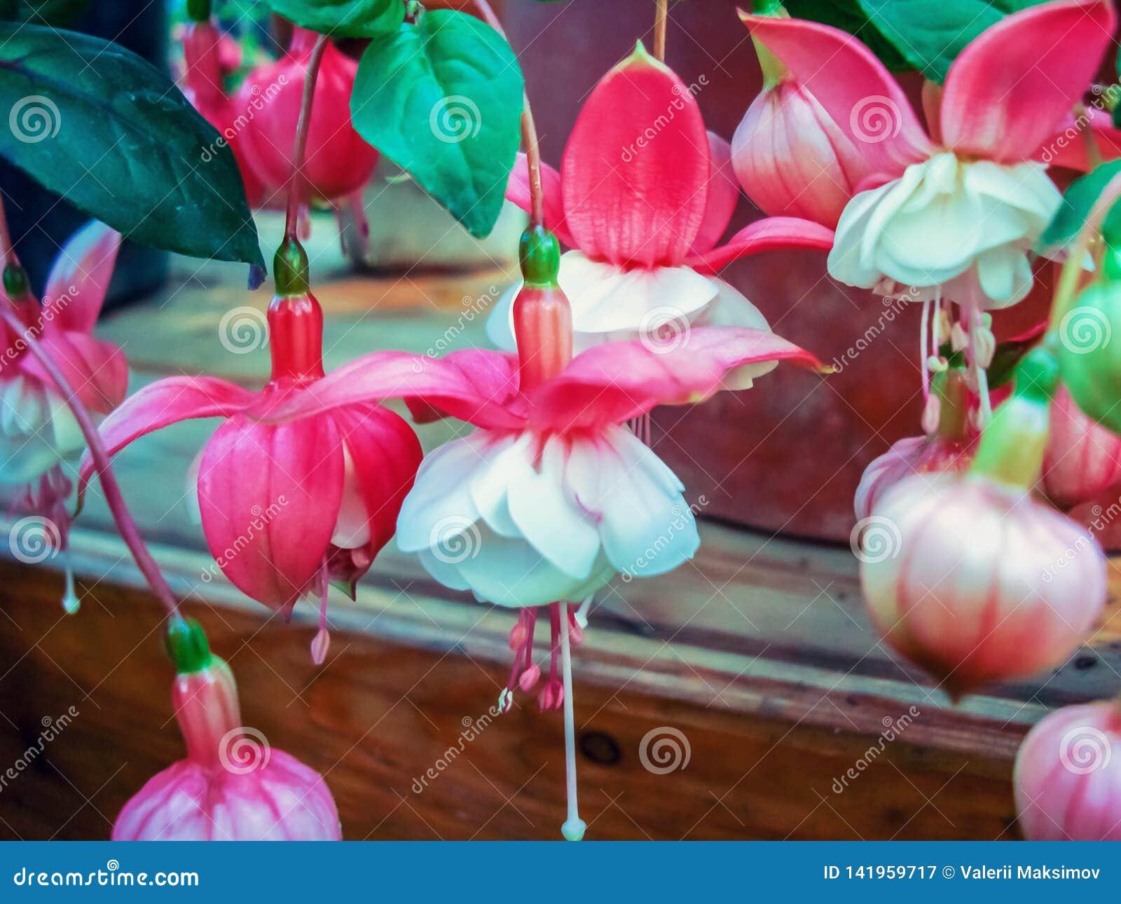 Exotic fuchsia flowers in the city botanical garden