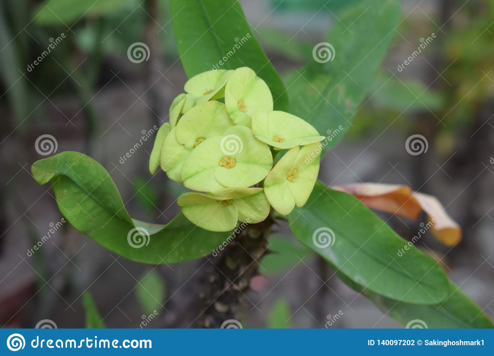 Exotic Greenish yellow flowers blossomed in a thorny plant