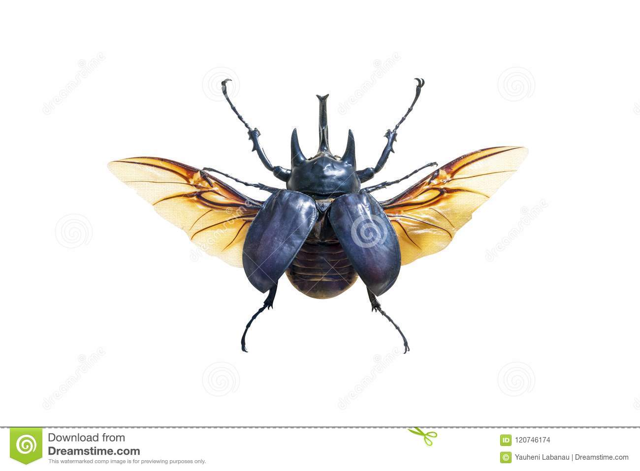 Exotic large beetle with wings isolated