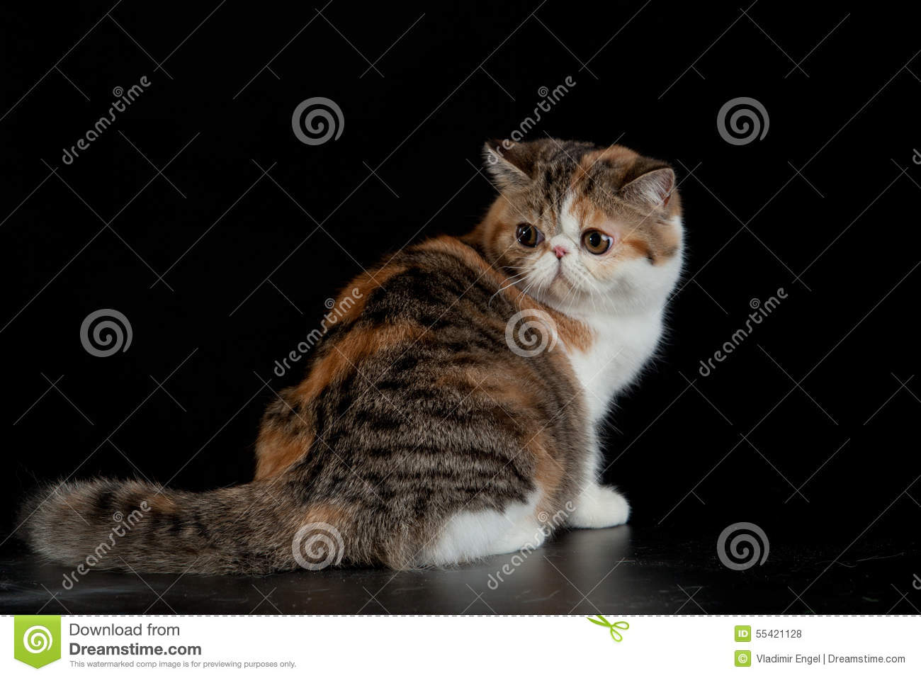 Exotic Persian Cat On Black Background Pet With Big Eyes Stock Photo