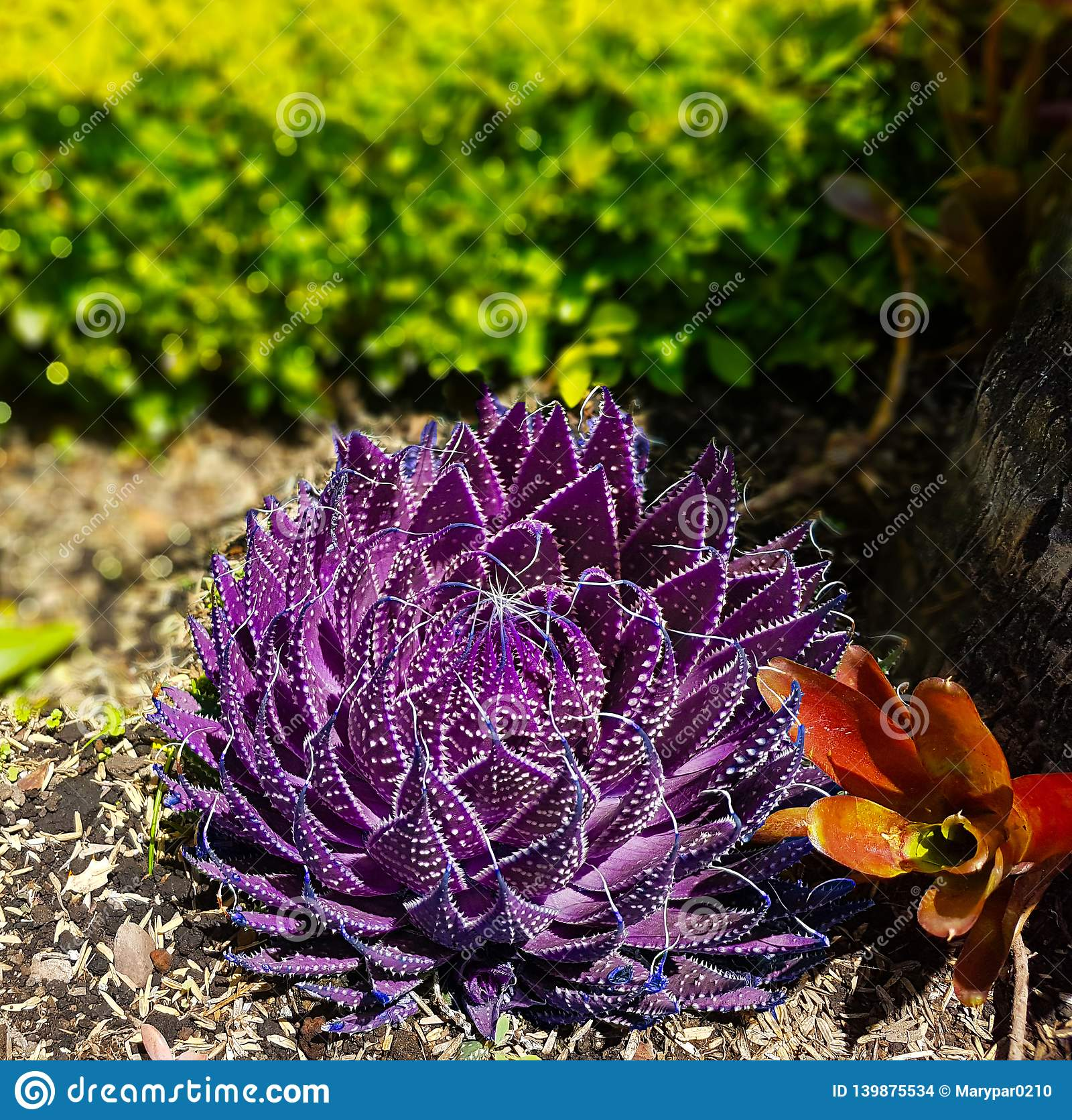 Purple Succulent Plant In The Middle Of The Garden Stock Photo Image Of Middle Leaves 139875534