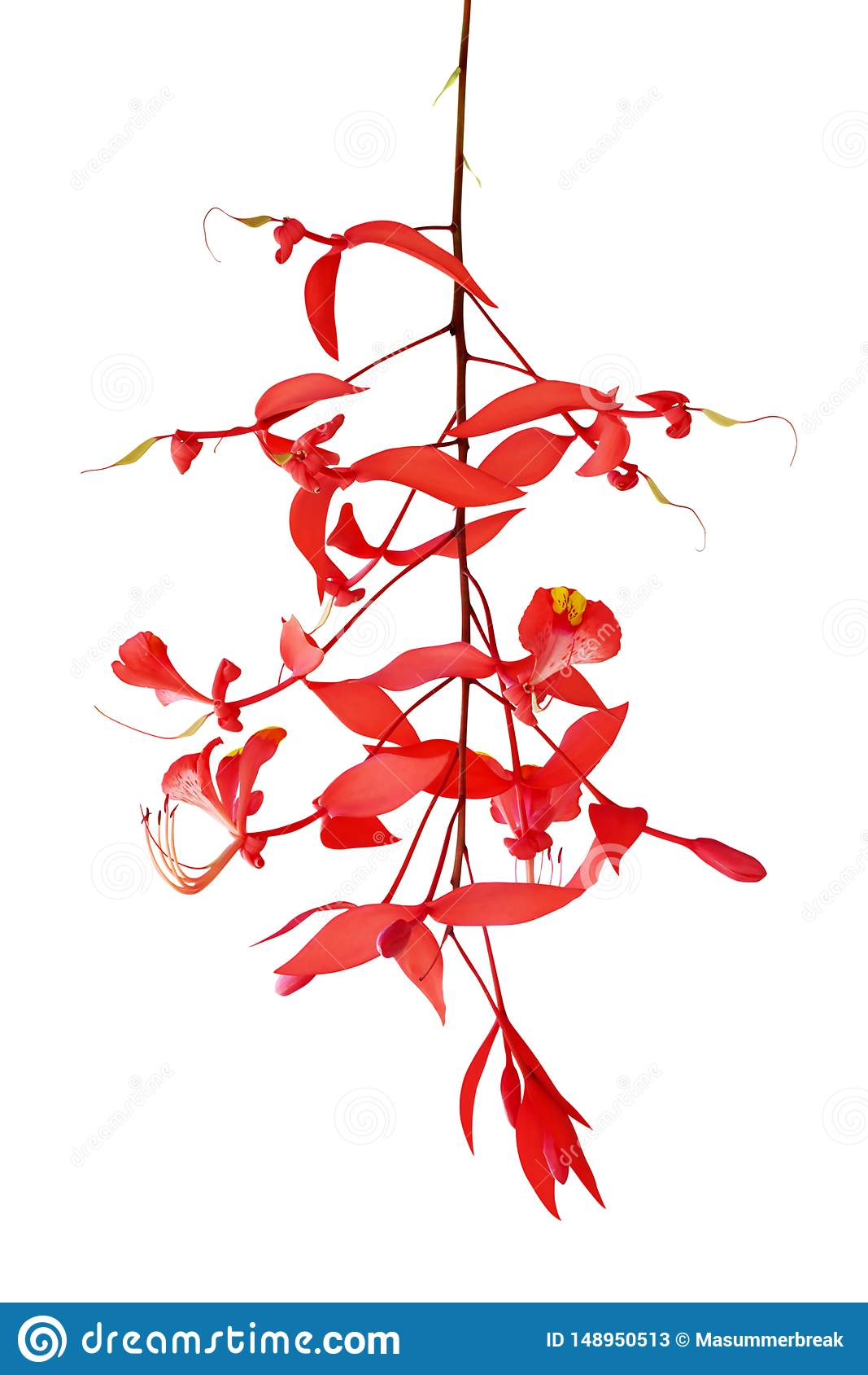Red Flowers of Amherstia nobilis Wall, Pride of Burma Isolated on White Background