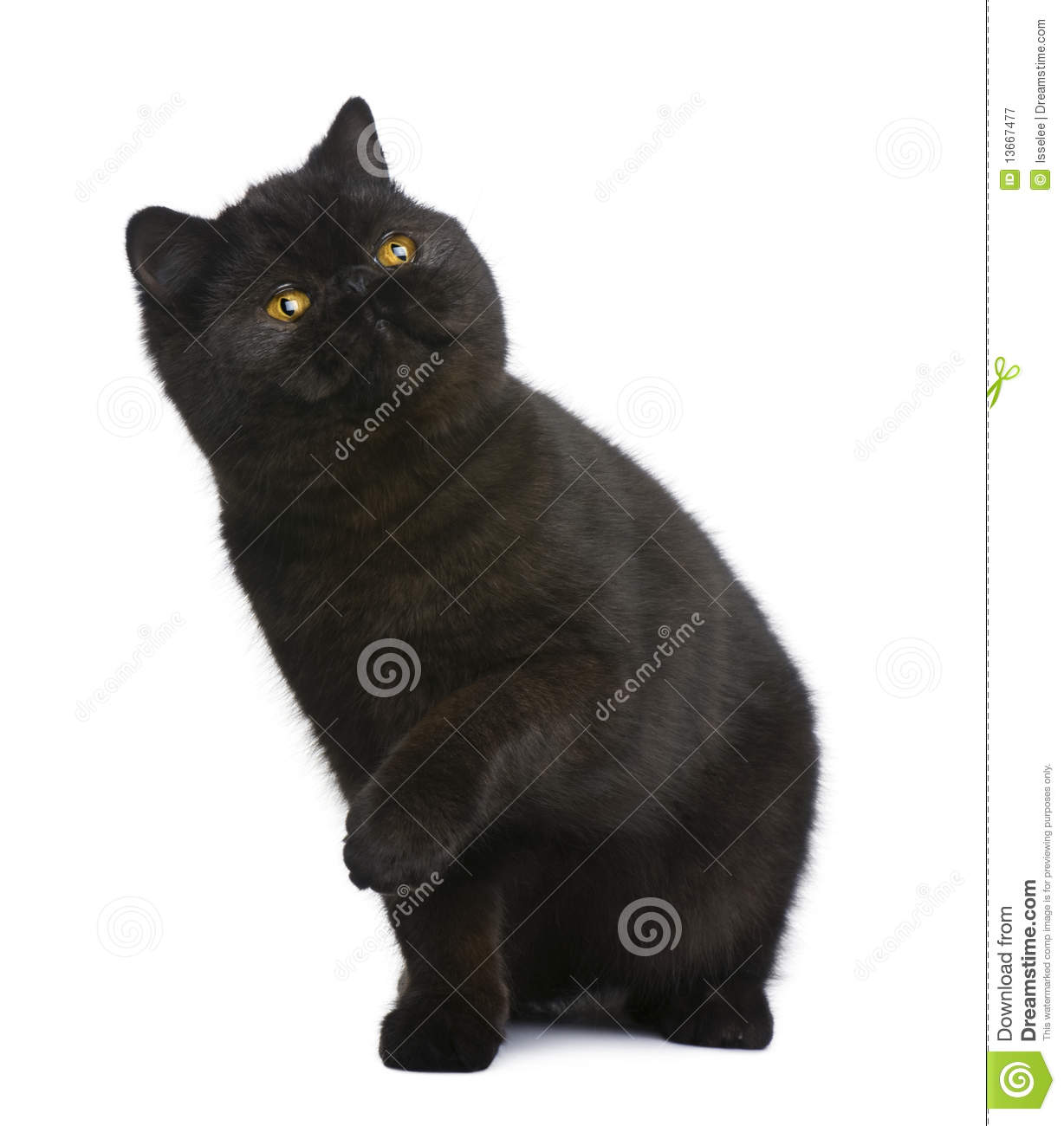 Exotic shorthair cat, 8 months old