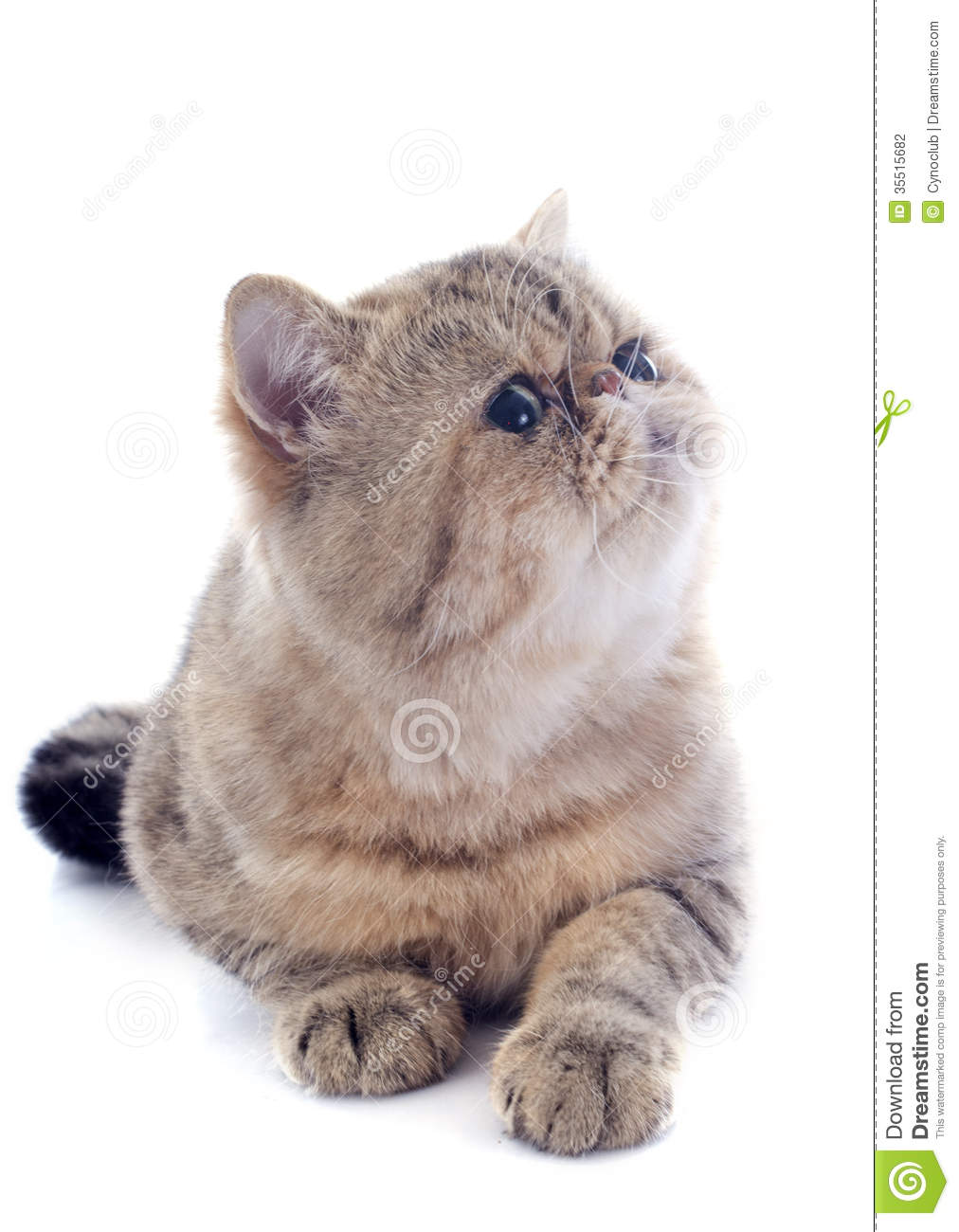 Exotic Shorthair Stock Photo Image Of Shorthair Exotic 35515682