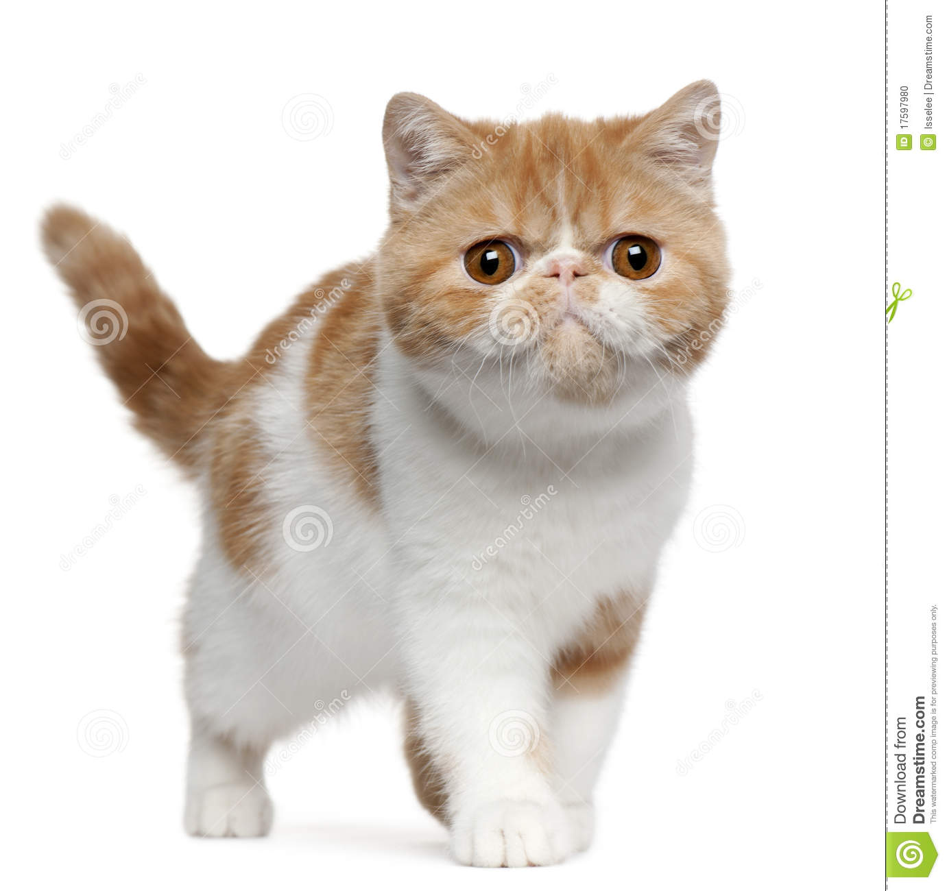 exotic shorthair kitten 4 months old standing stock