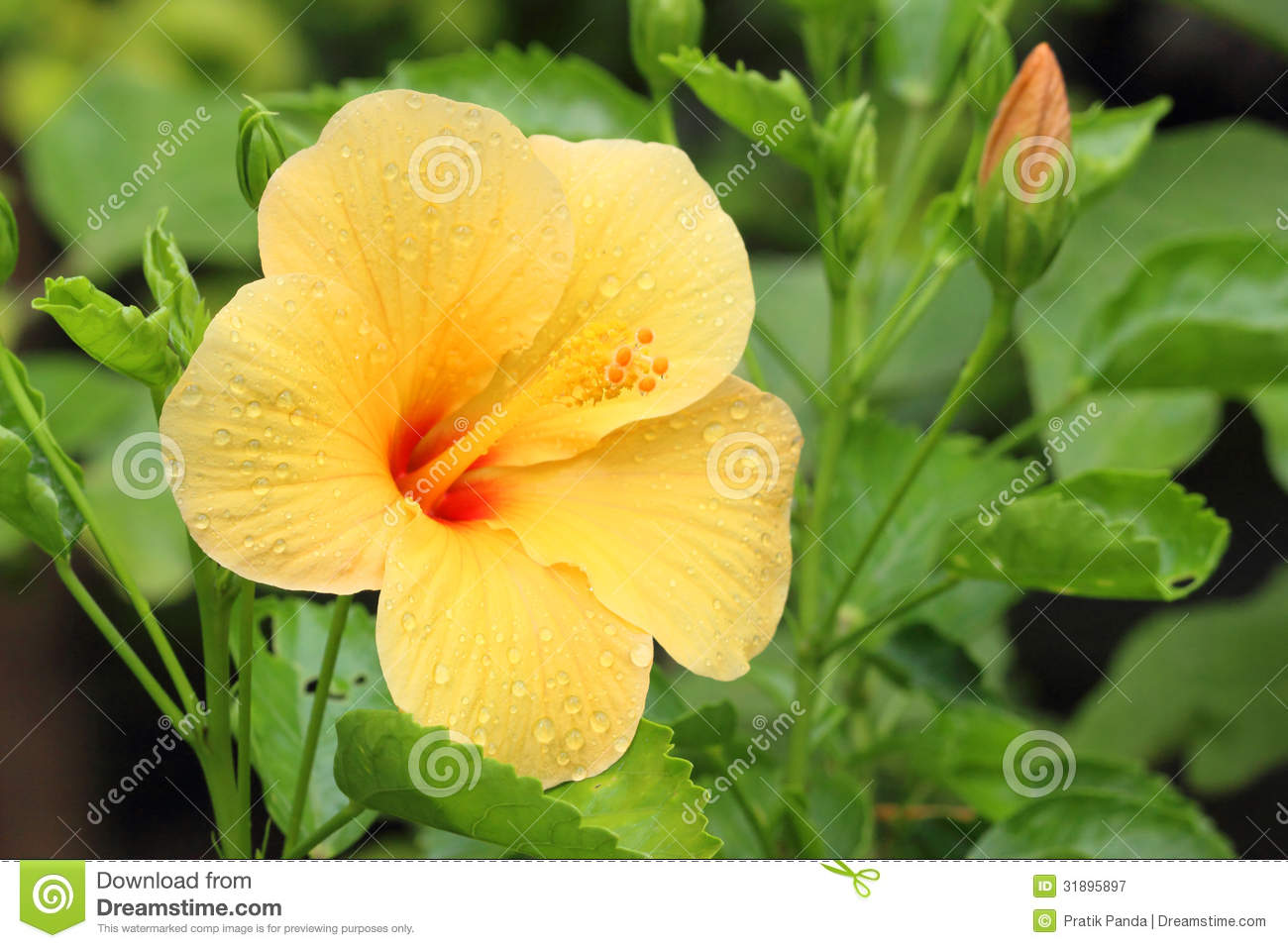 exotic yellow hibiscus flower and plant royalty free stock, Beautiful flower