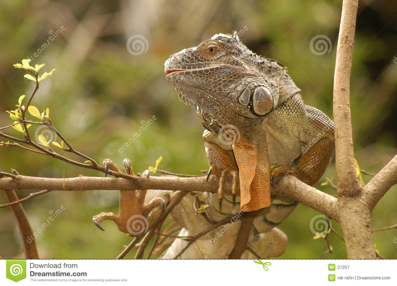 Exotica da iguana