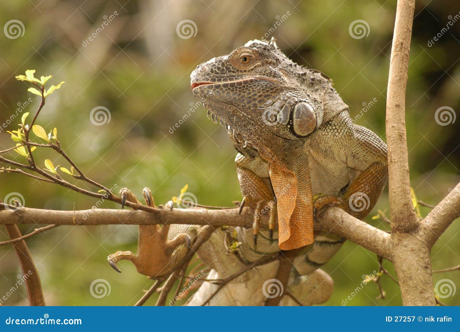 Exotica dell iguana