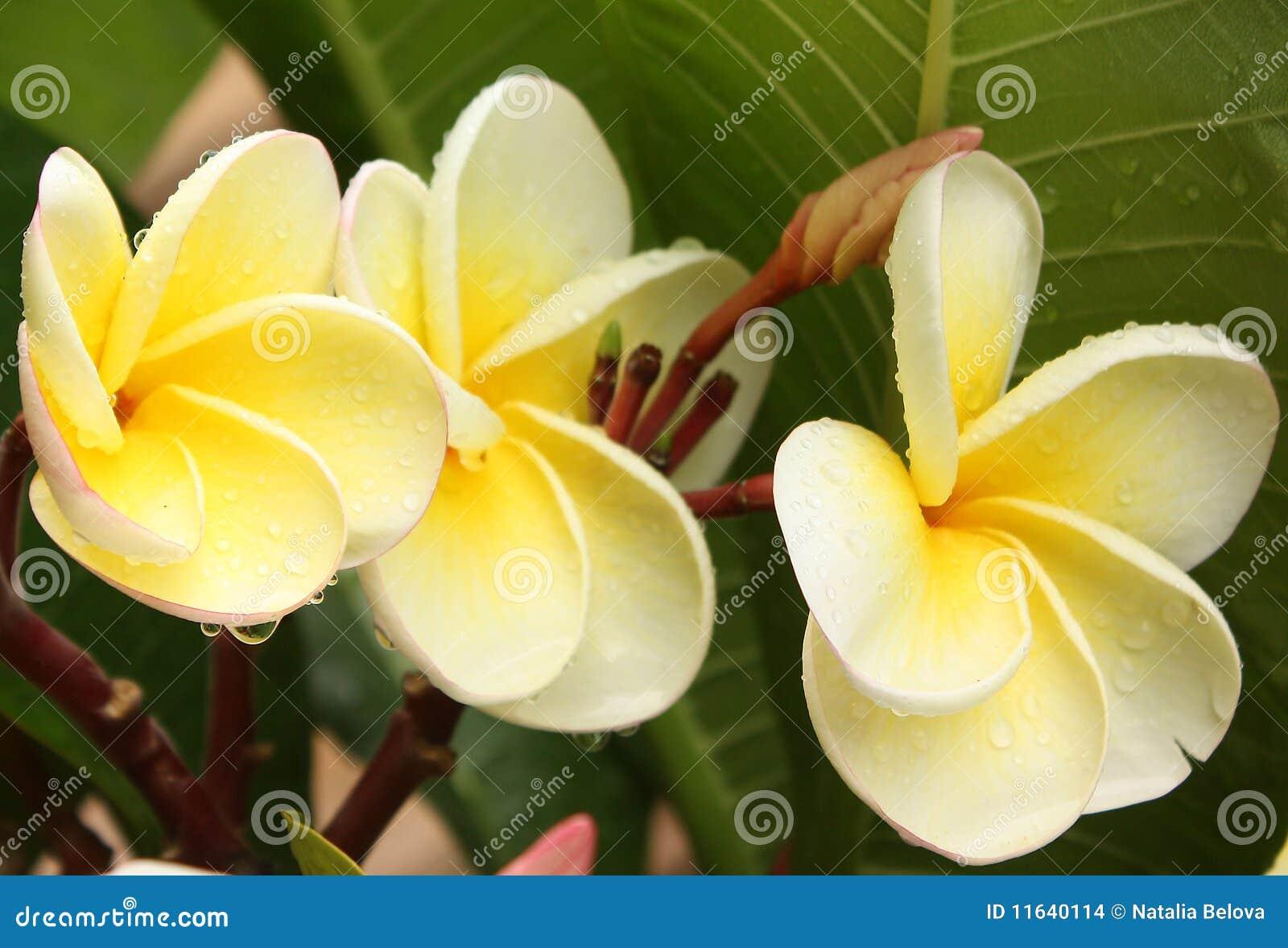 exotische bloemen met waterdalingen stock afbeeldingen. Black Bedroom Furniture Sets. Home Design Ideas