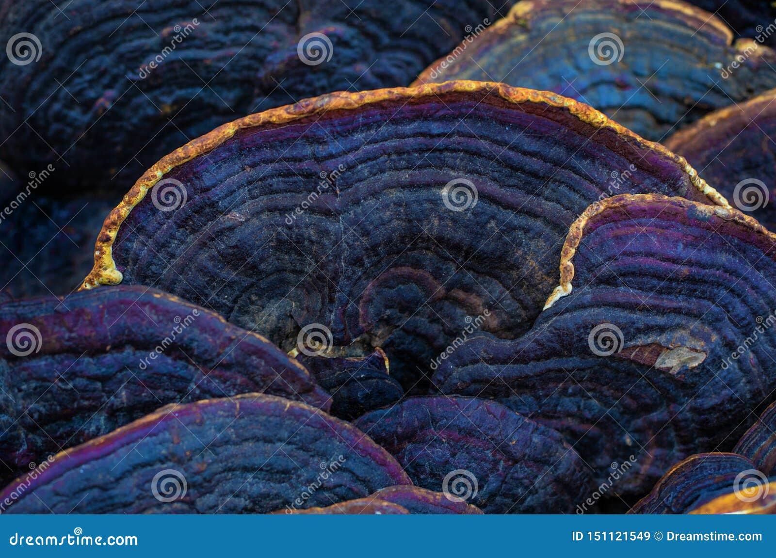 Exotische boom mashrooms voor traditionele oosterse geneeskunde en remedie Phellinuslinteus abstracte achtergrond