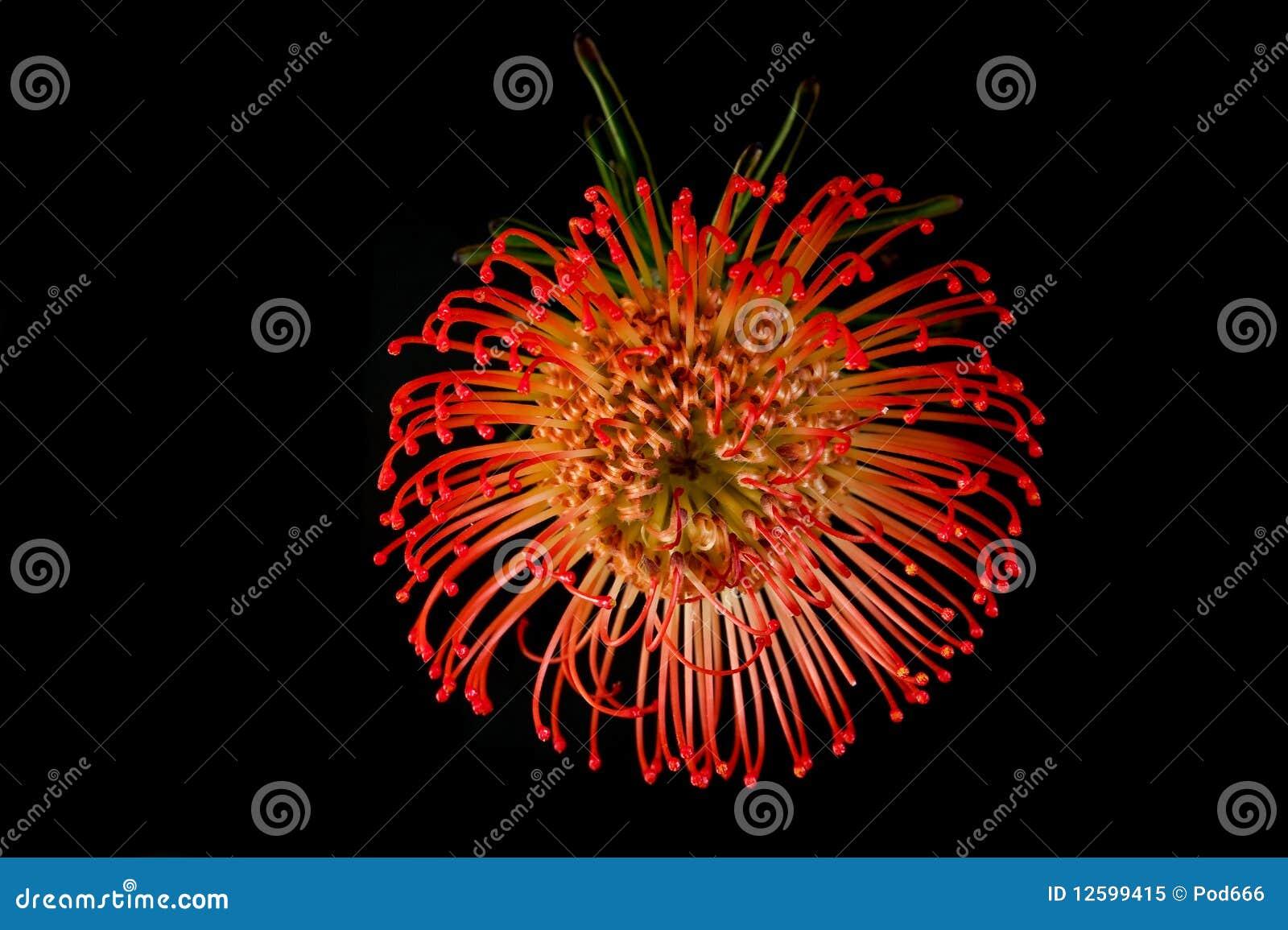 Exotische rote Blüte der Blume