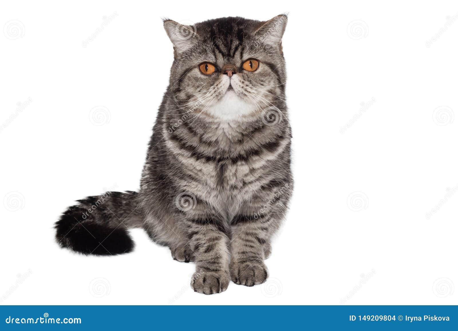 Exotisk haired kortslutning f?r katt Isolerat p? vit Sitta framme av vit bakgrund