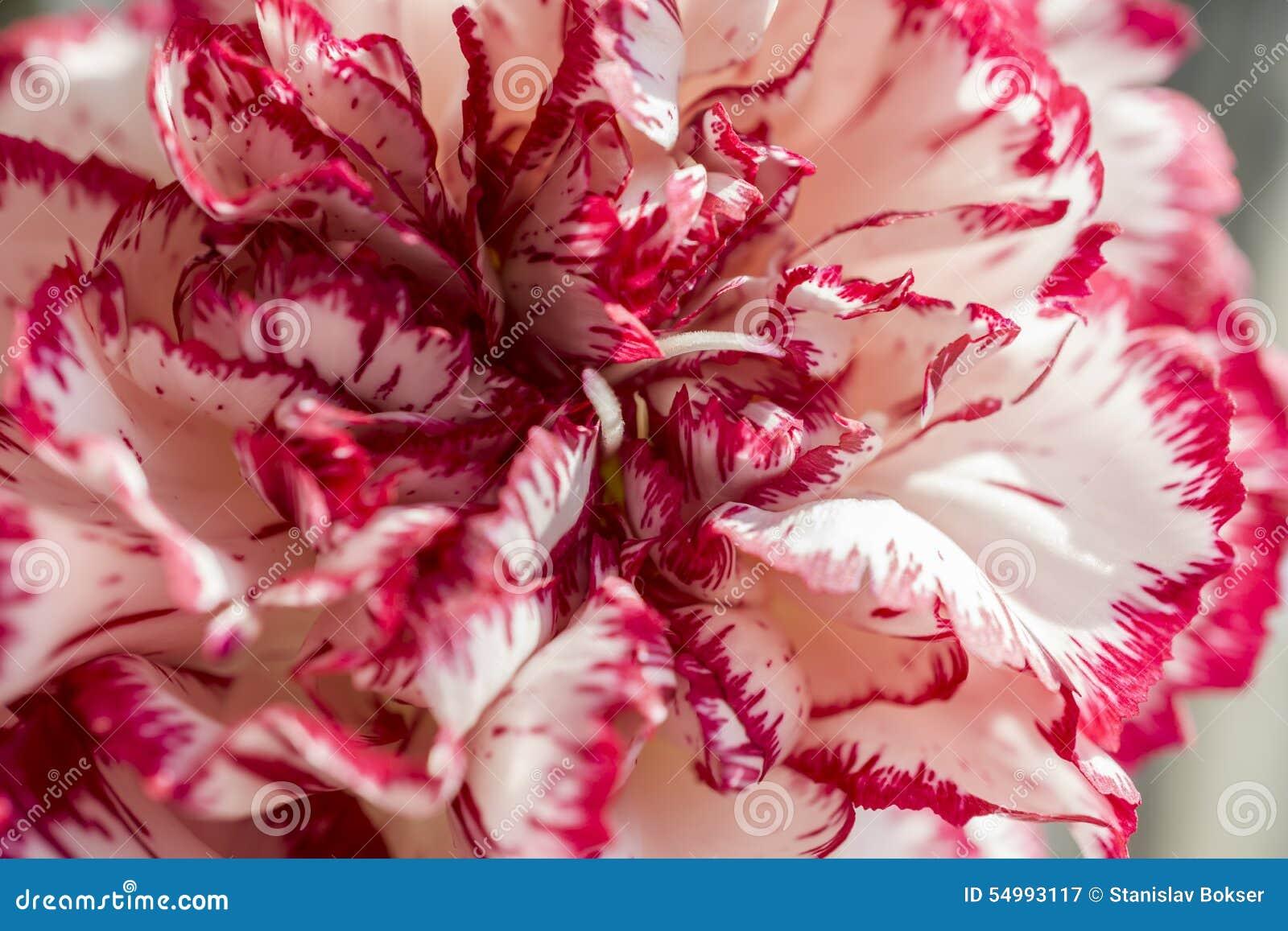 Exotisk vit och röd nejlika