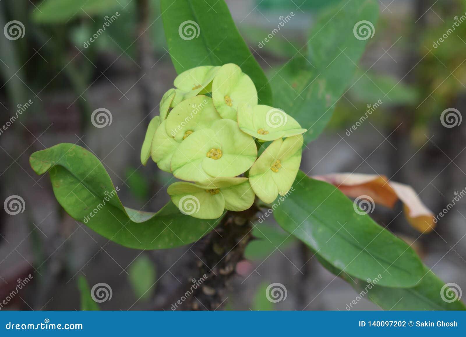Exotiska grönaktiga gula blommor blomstrade i en taggig växt