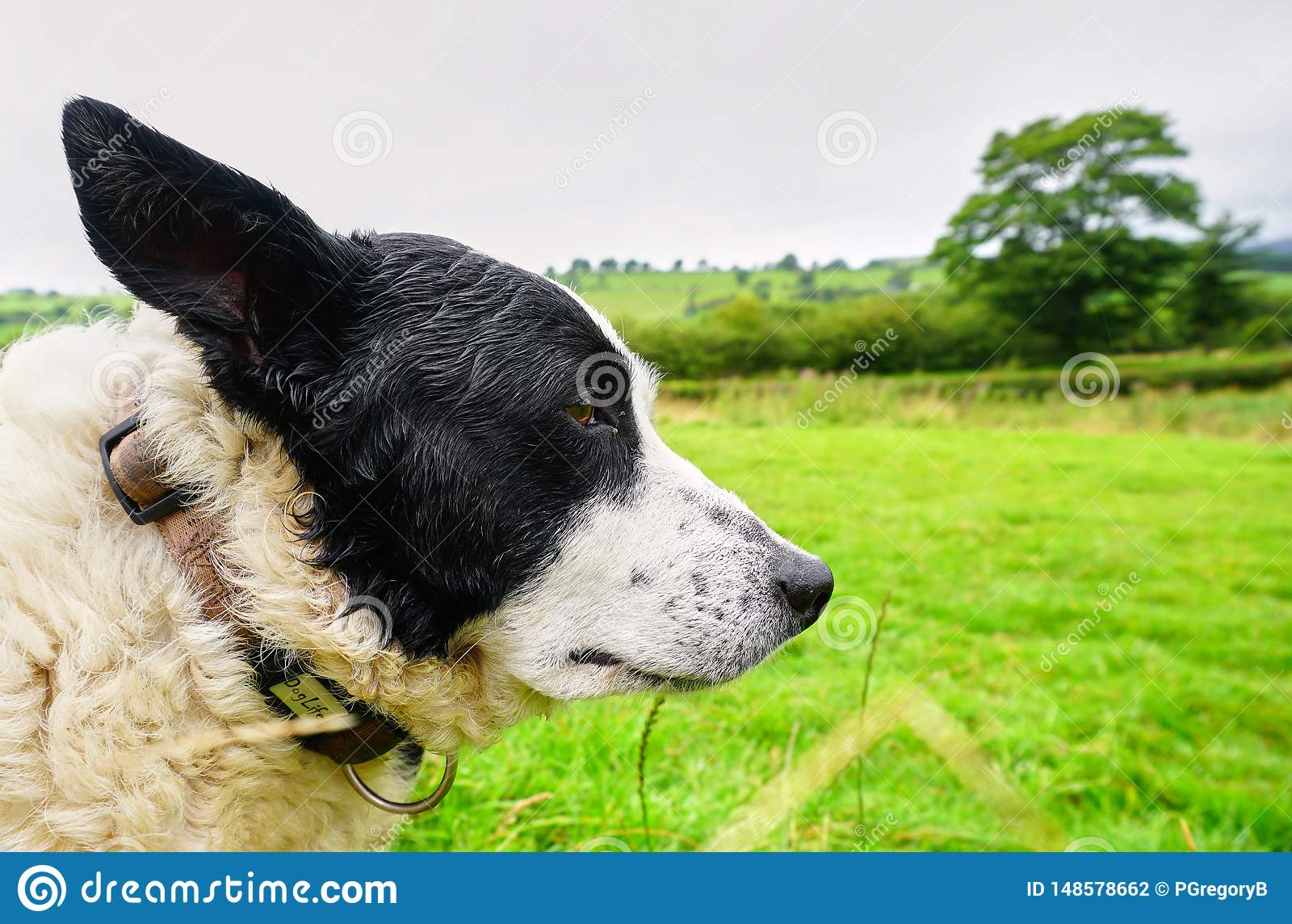 Wise old Sheep Dog in Welsh Countryside