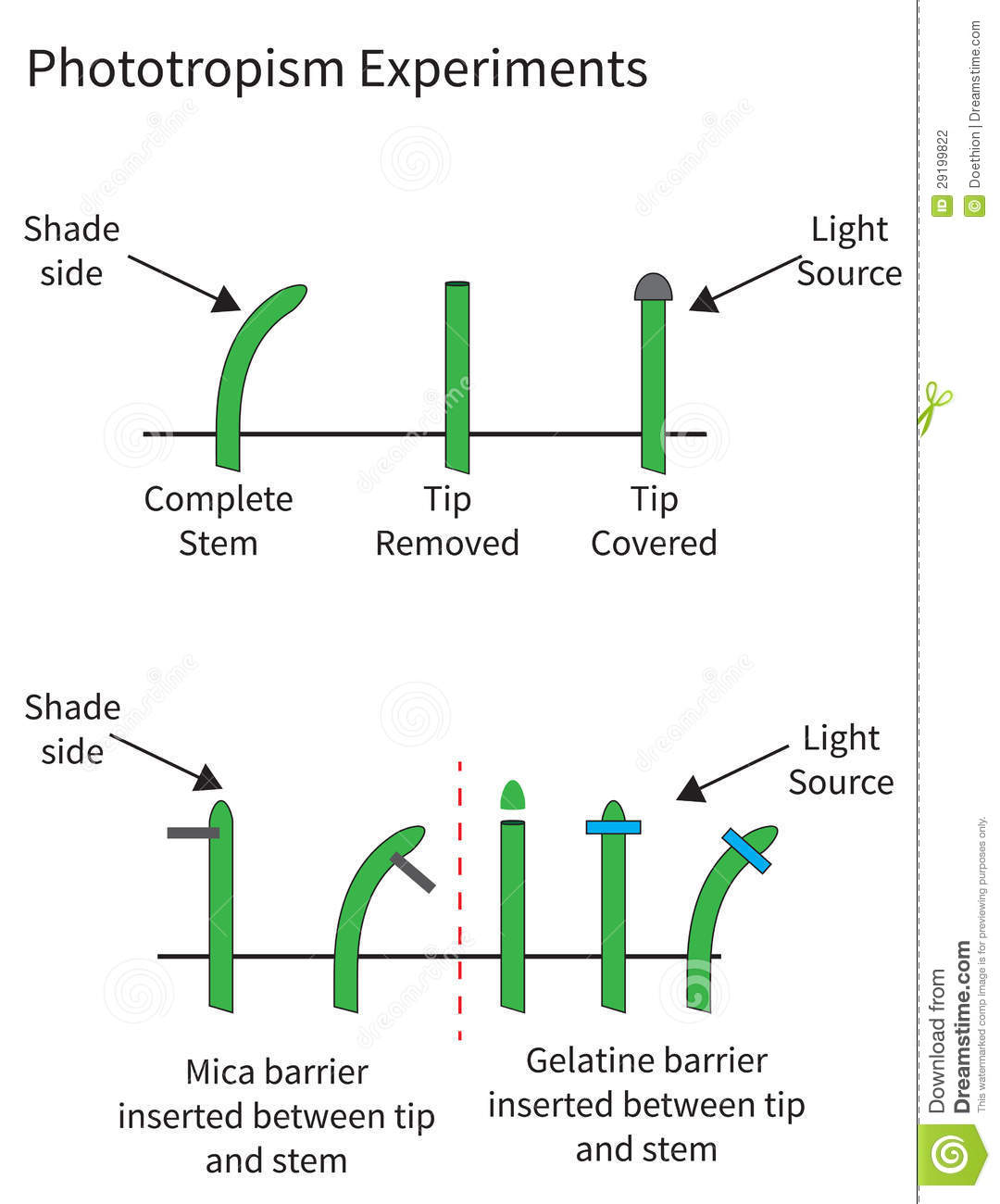 auxin in phototropism In phototropism, however, this growth hormone is distributed unevenly when the light source comes from only one direction specifically, more auxin flows down the dark side, meaning that it grows faster than the exposed side of the plant.