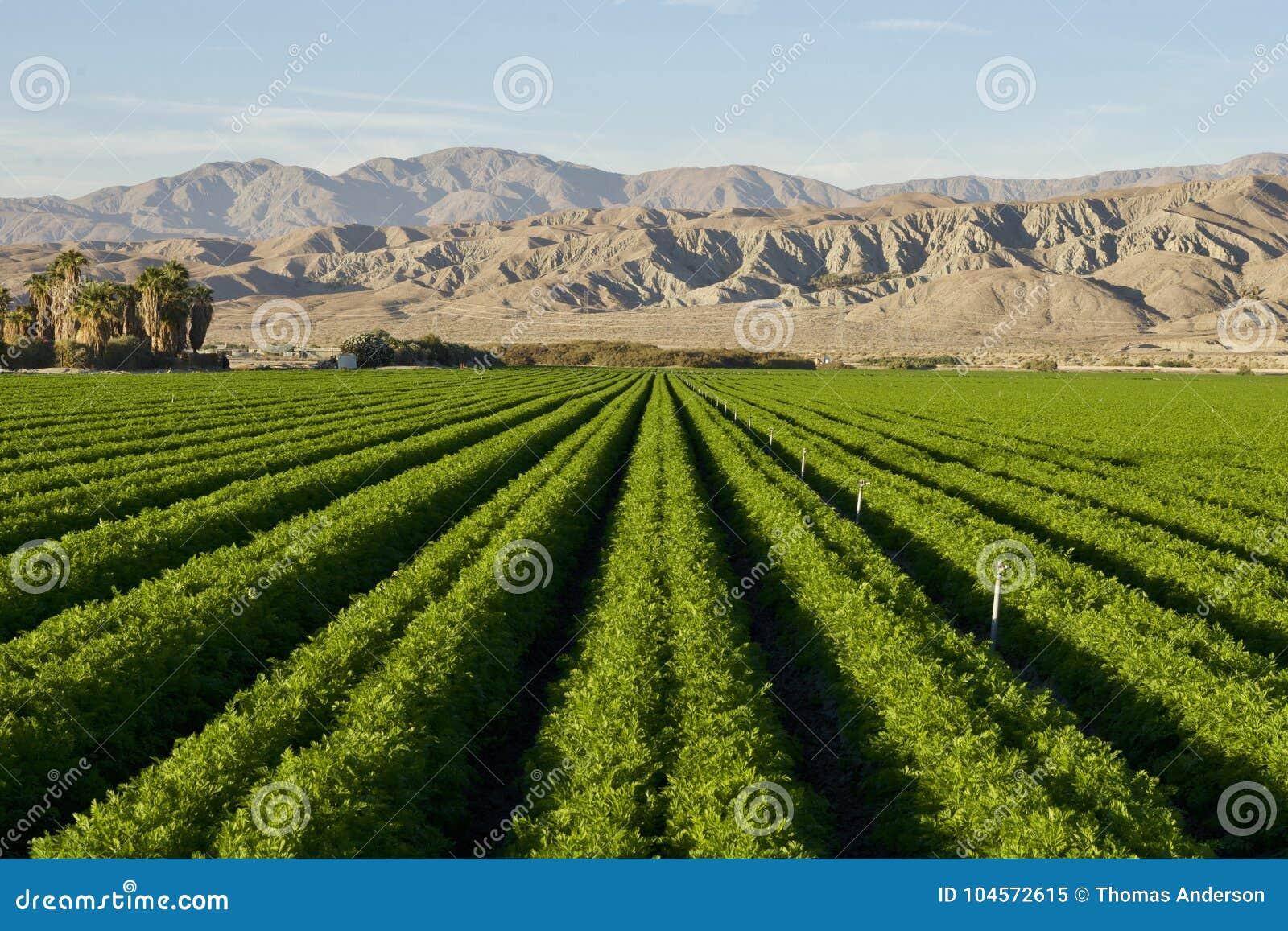 Exploração agrícola da cenoura no deserto