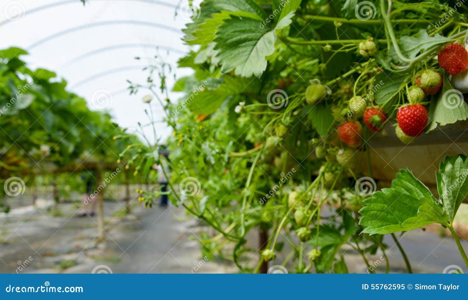 Exploração agrícola da morango