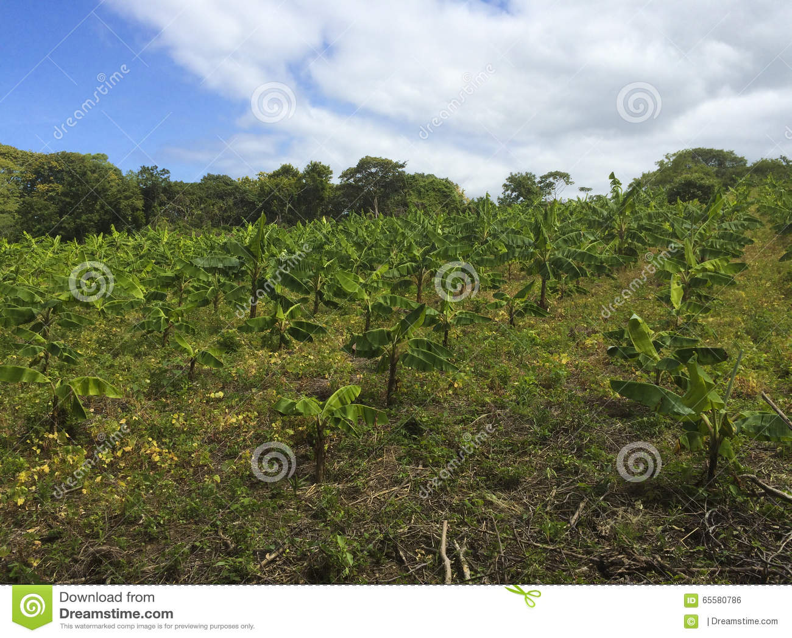 Exploração agrícola da plantação de banana