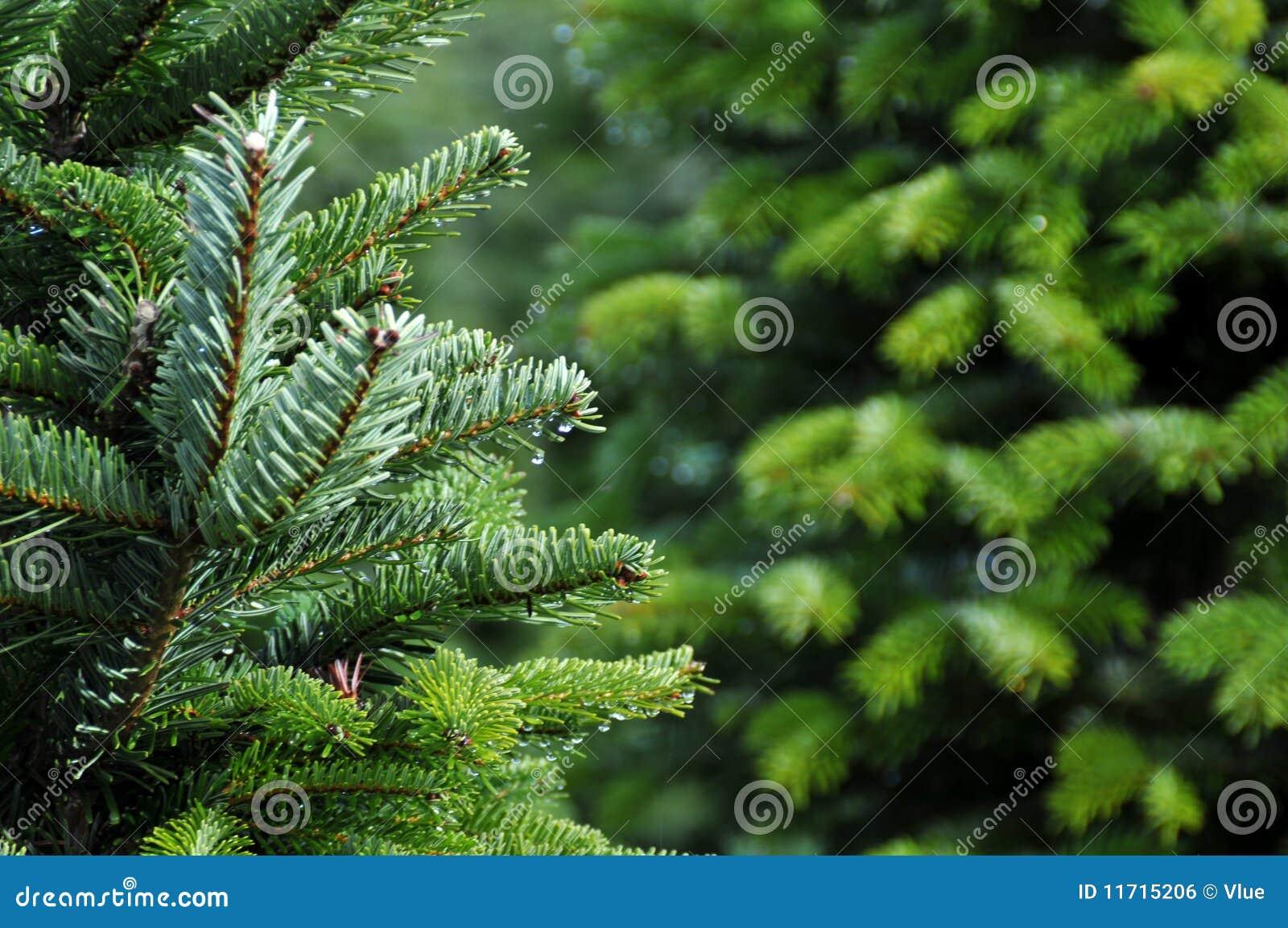 Exploração agrícola de árvore do Natal