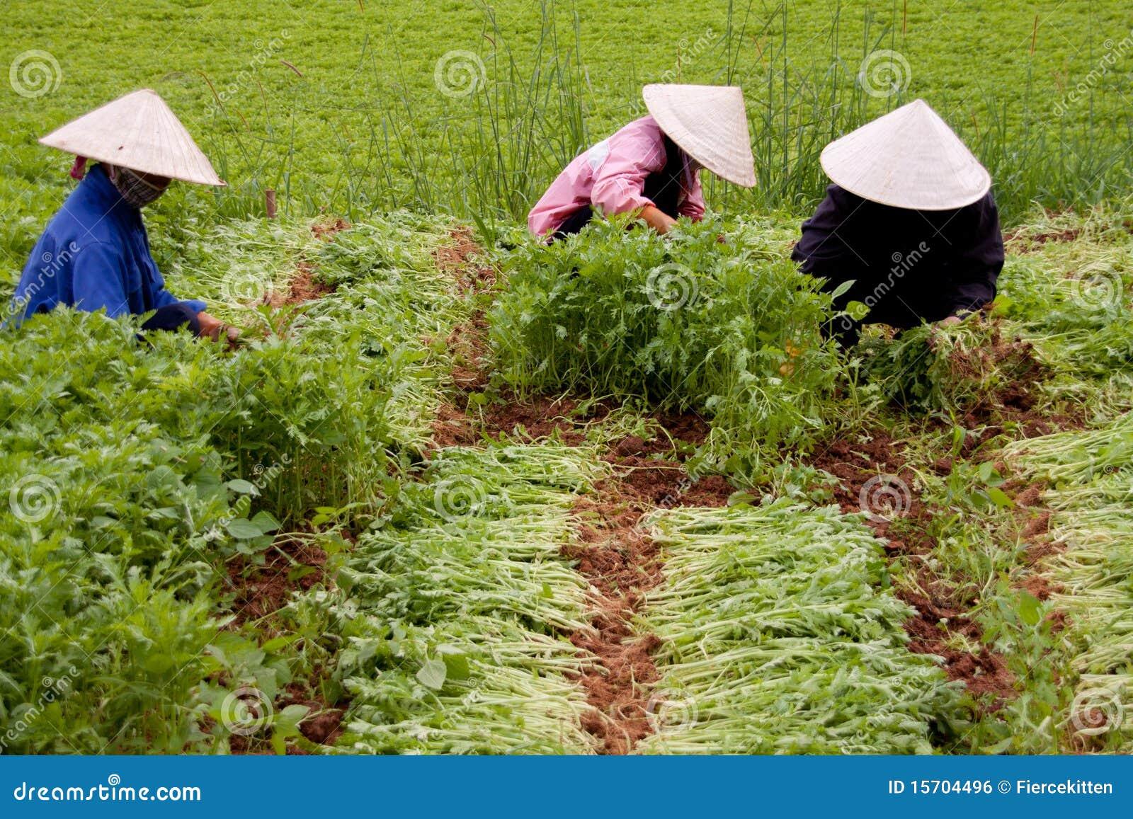Exploração agrícola do espinafre em Vietnam