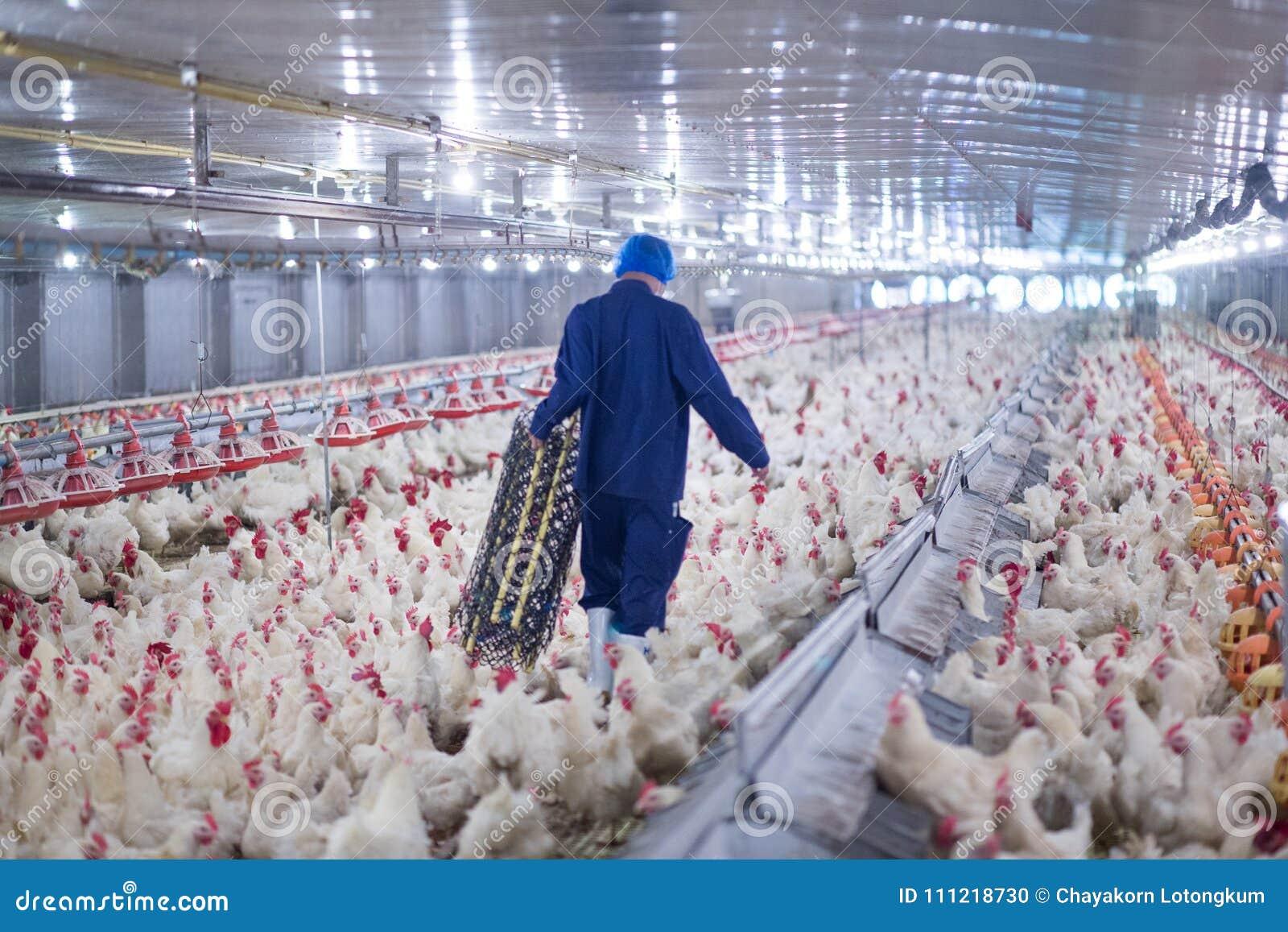 Exploração agrícola do negócio da galinha da exploração avícola