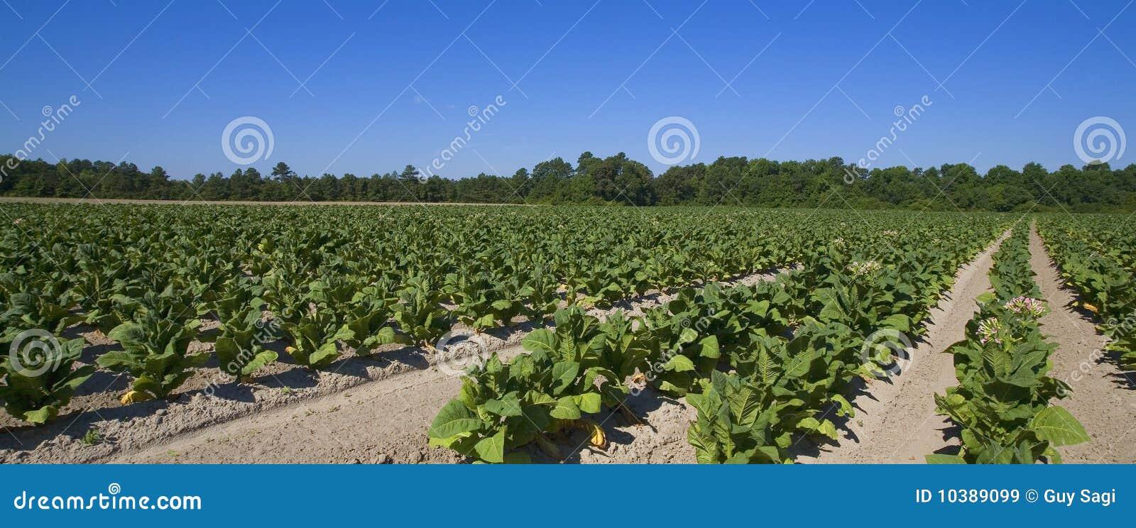 Exploração agrícola do tabaco