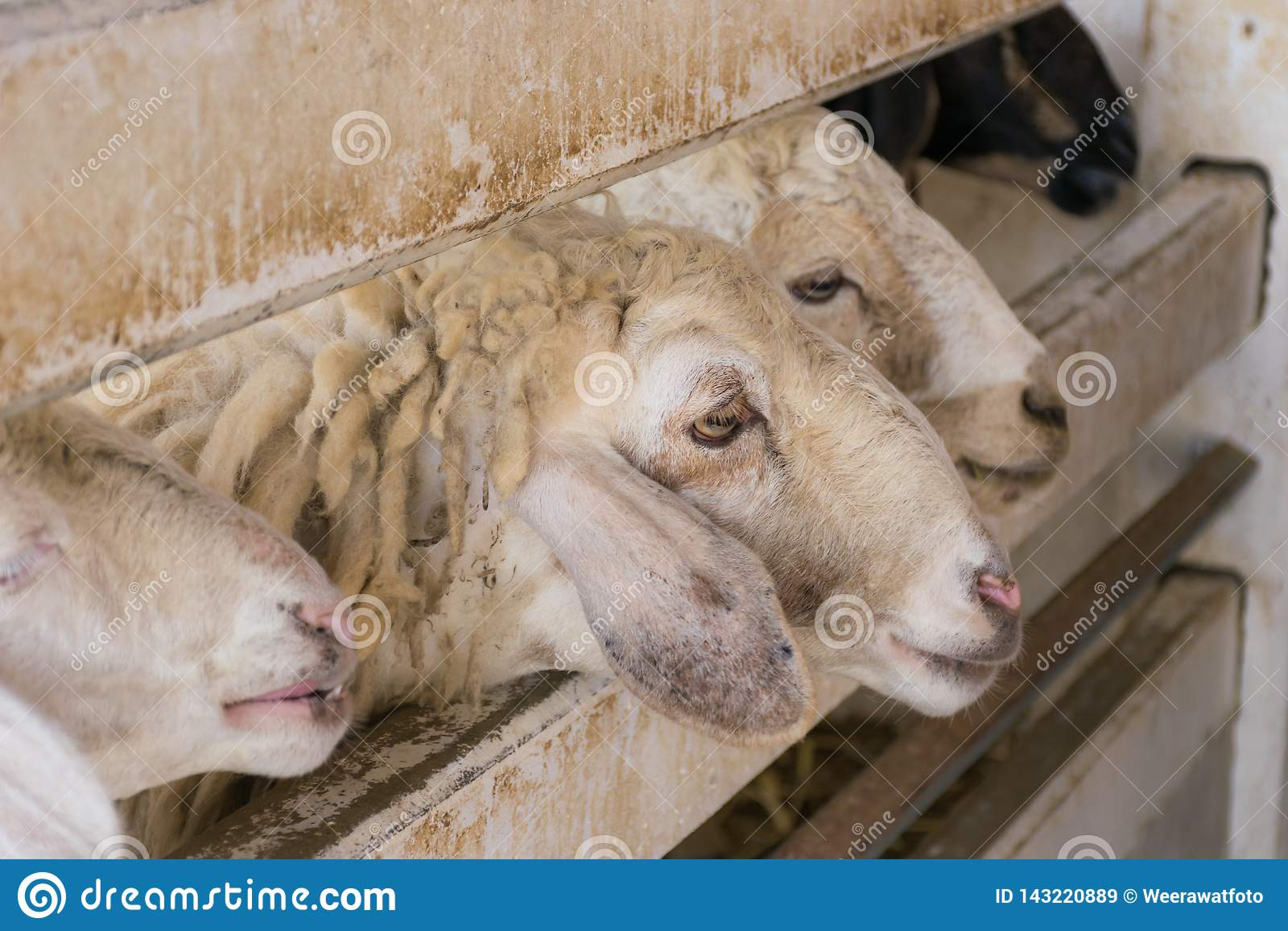 Exploração agrícola dos carneiros