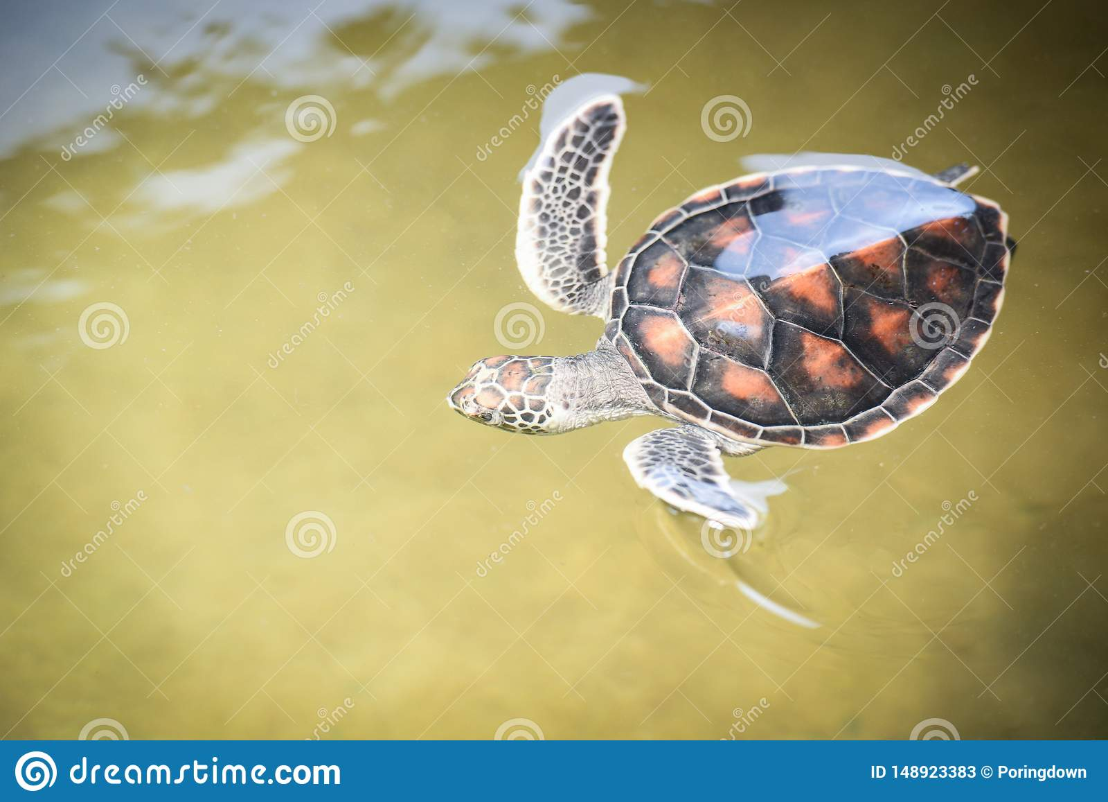 Explora??o agr?cola da tartaruga verde e nadar tartaruga em lagoa de ?gua - mar do hawksbill pouco