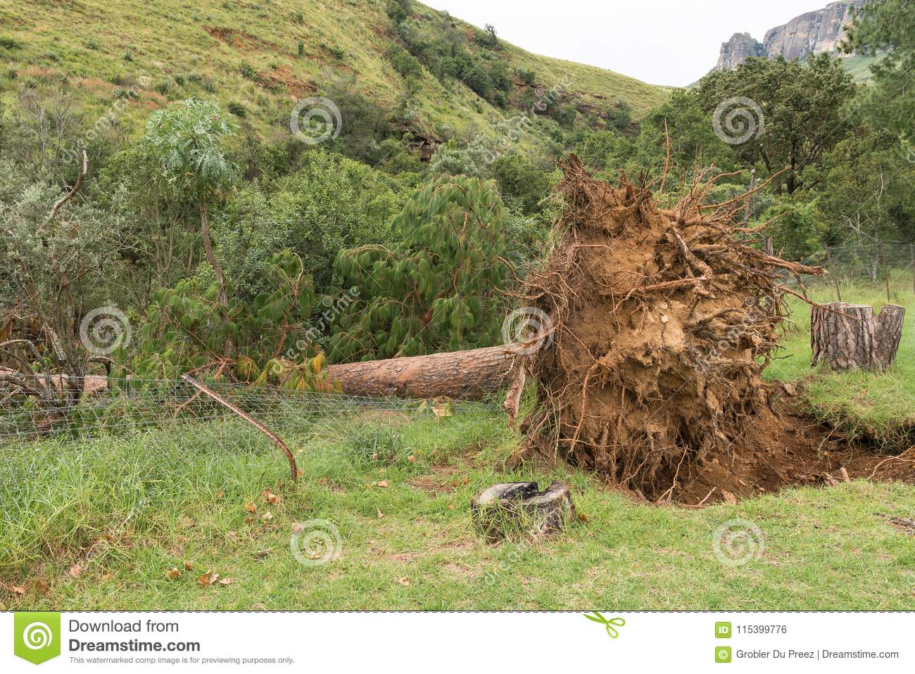 Exposed roots of huge pine tree toppled by strong winds
