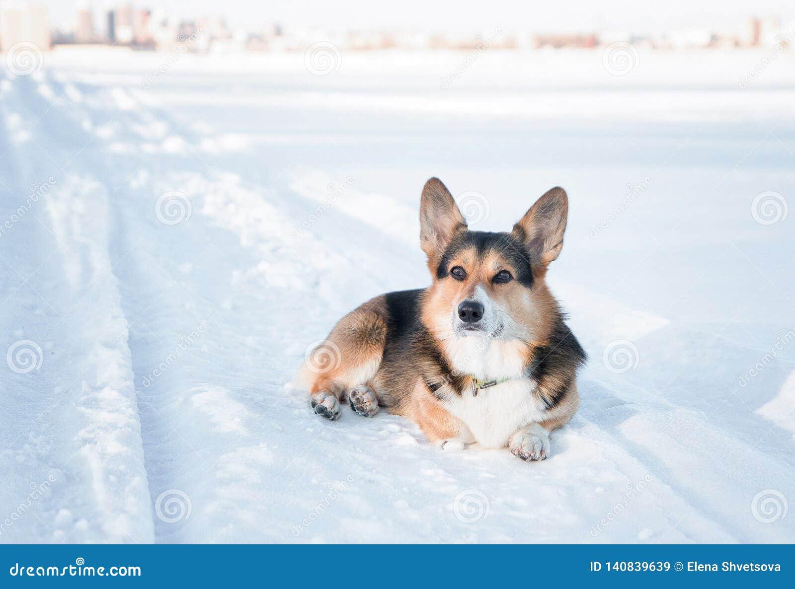 Extérieur de chien de Pembroke de corgi de Gallois en hiver Portrait d hiver de corgi mignon
