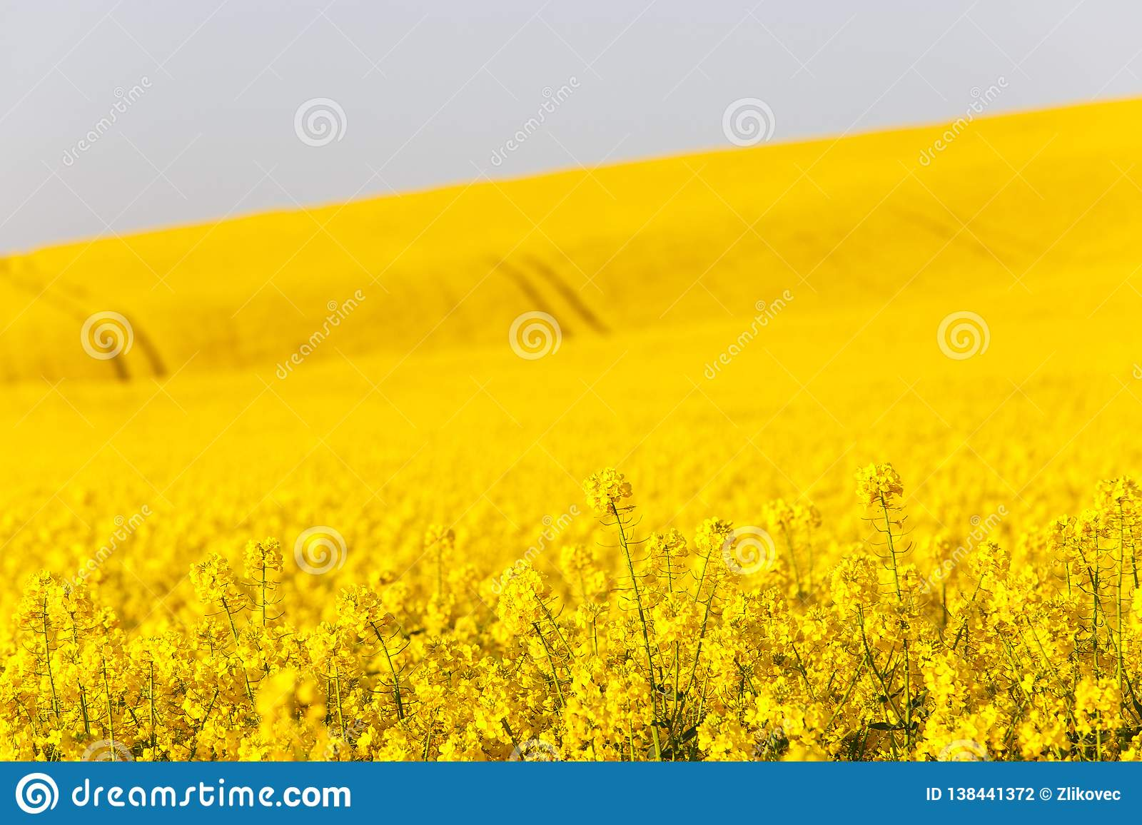 Extensive Field Of Rapeseed Stock Photo - Image of herbicide